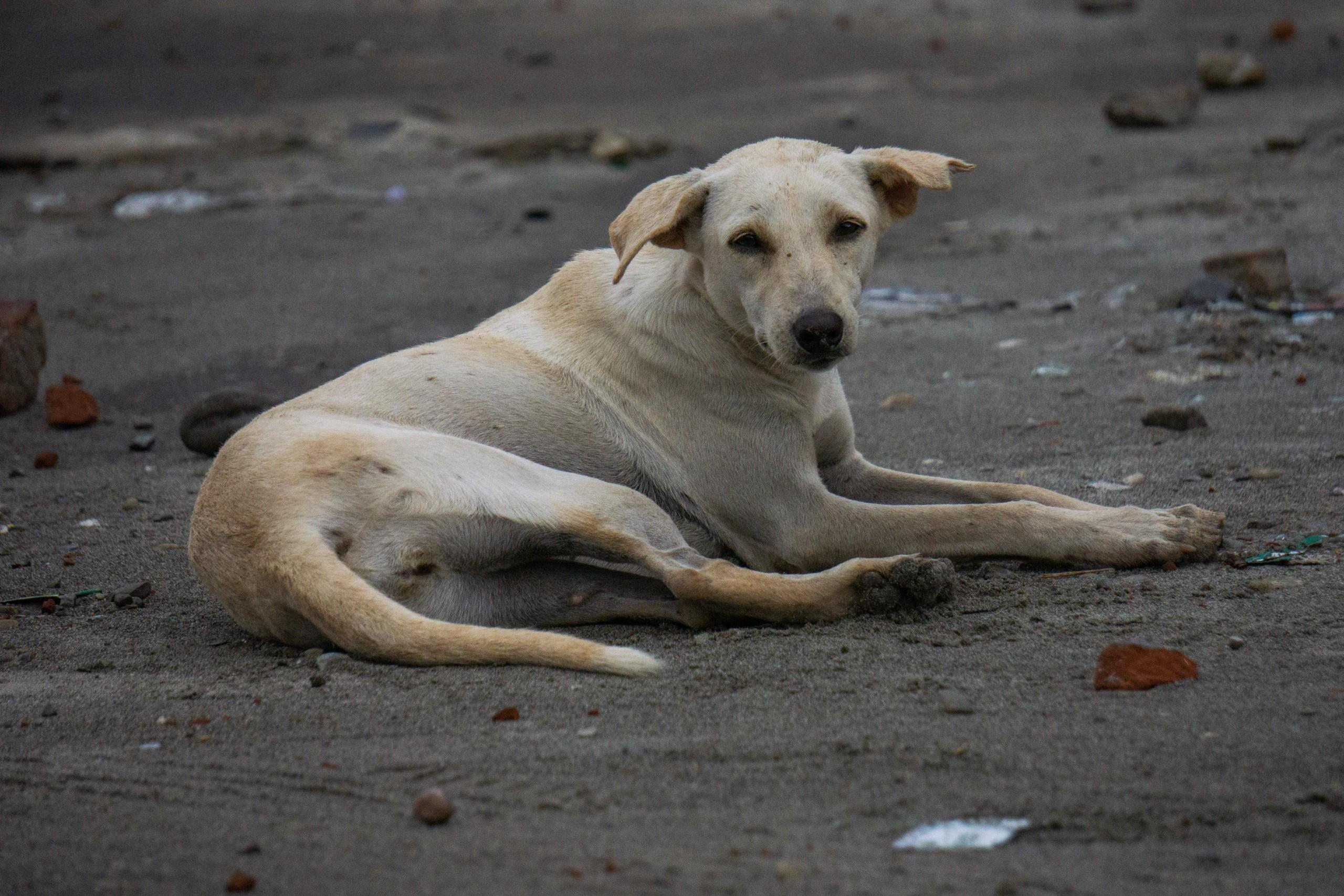 A Street Dog