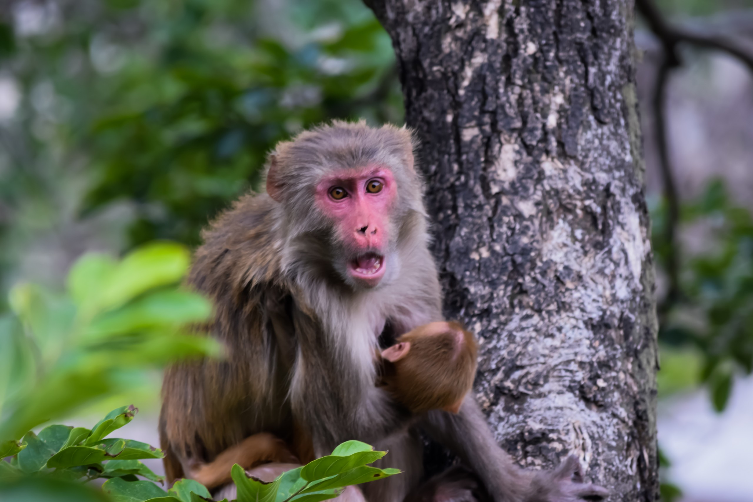 Angry Female monkey trying to protect her baby