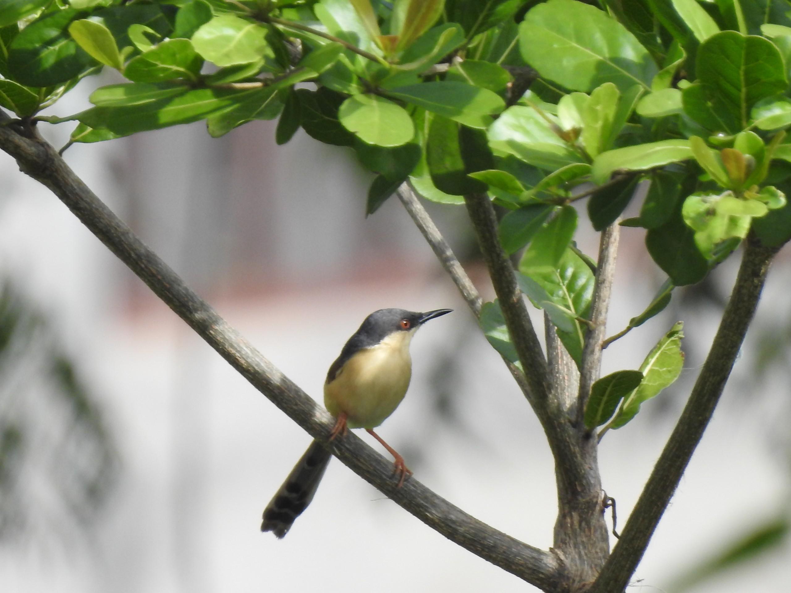 Ashy Prinia on a Tree