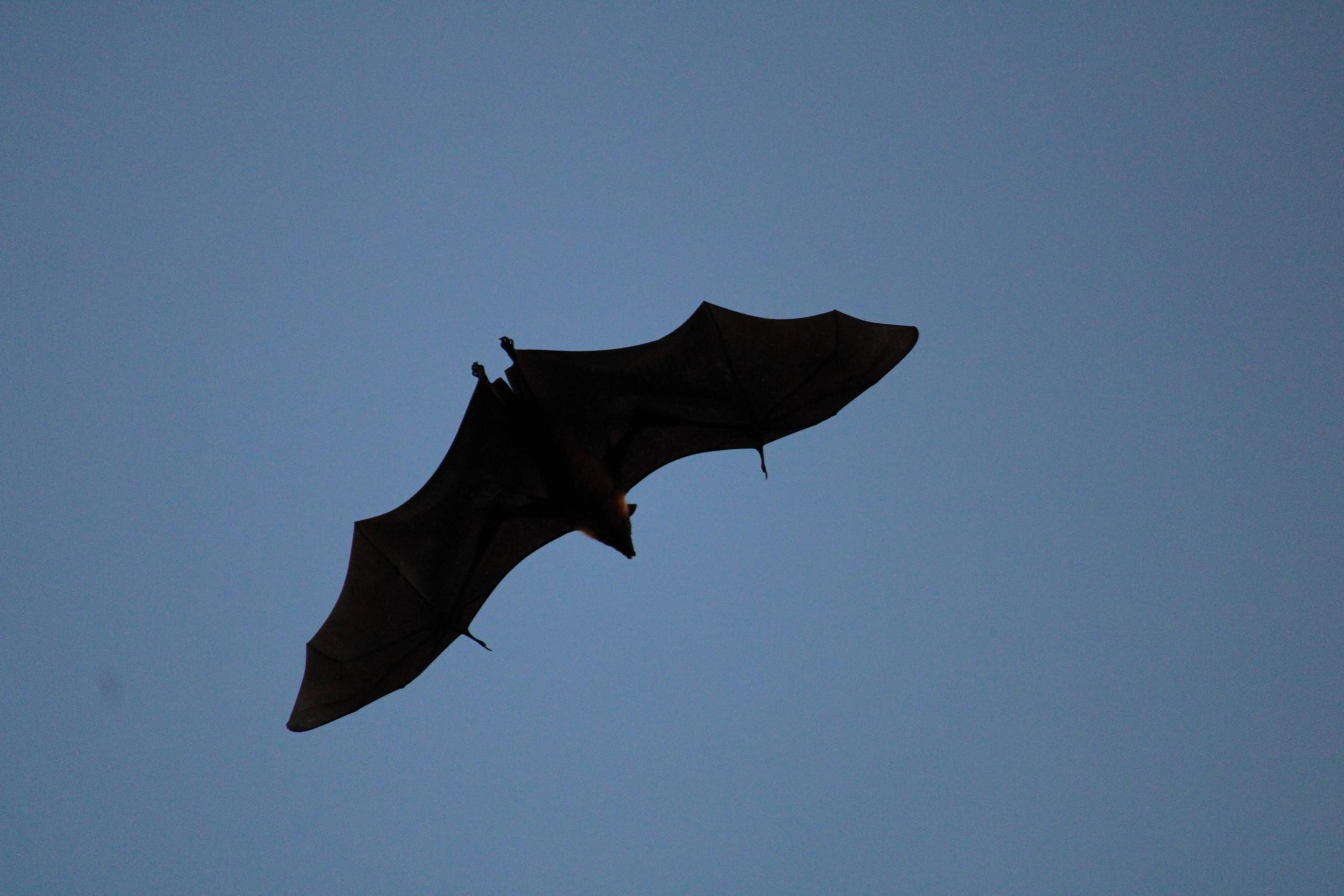 A flying bat
