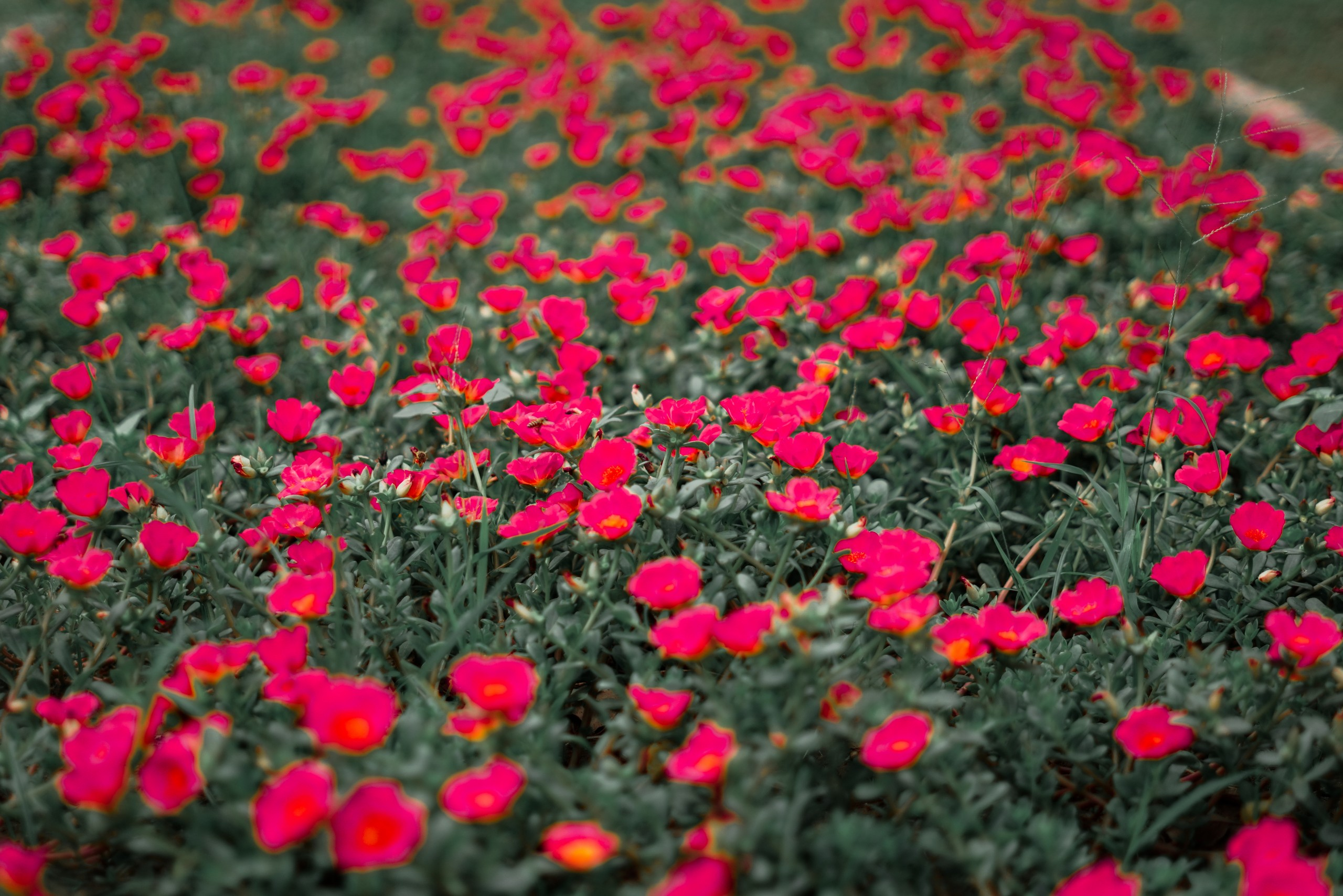 Red Flowers in Grey Background