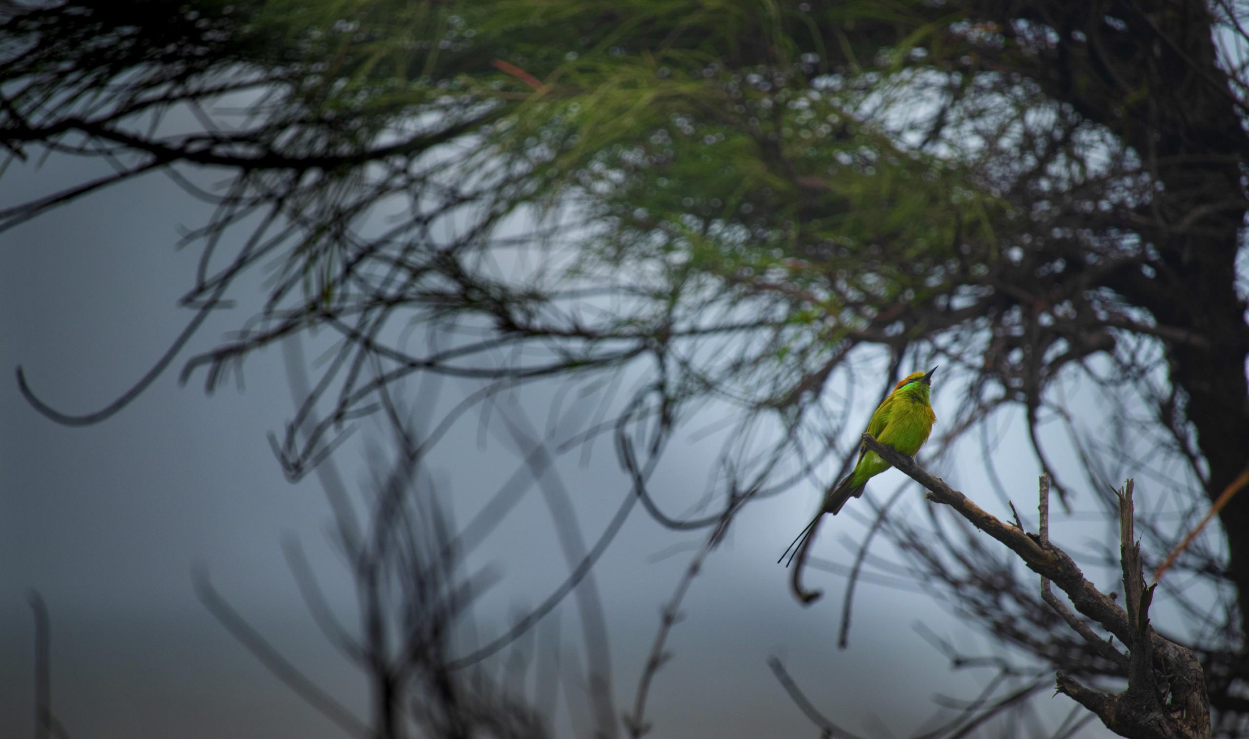 Bee-eater bird