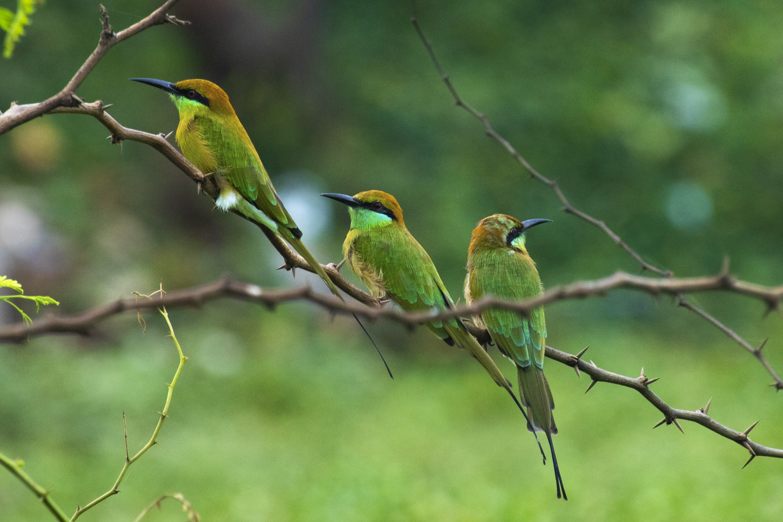 Bee-eaters perched on a branch