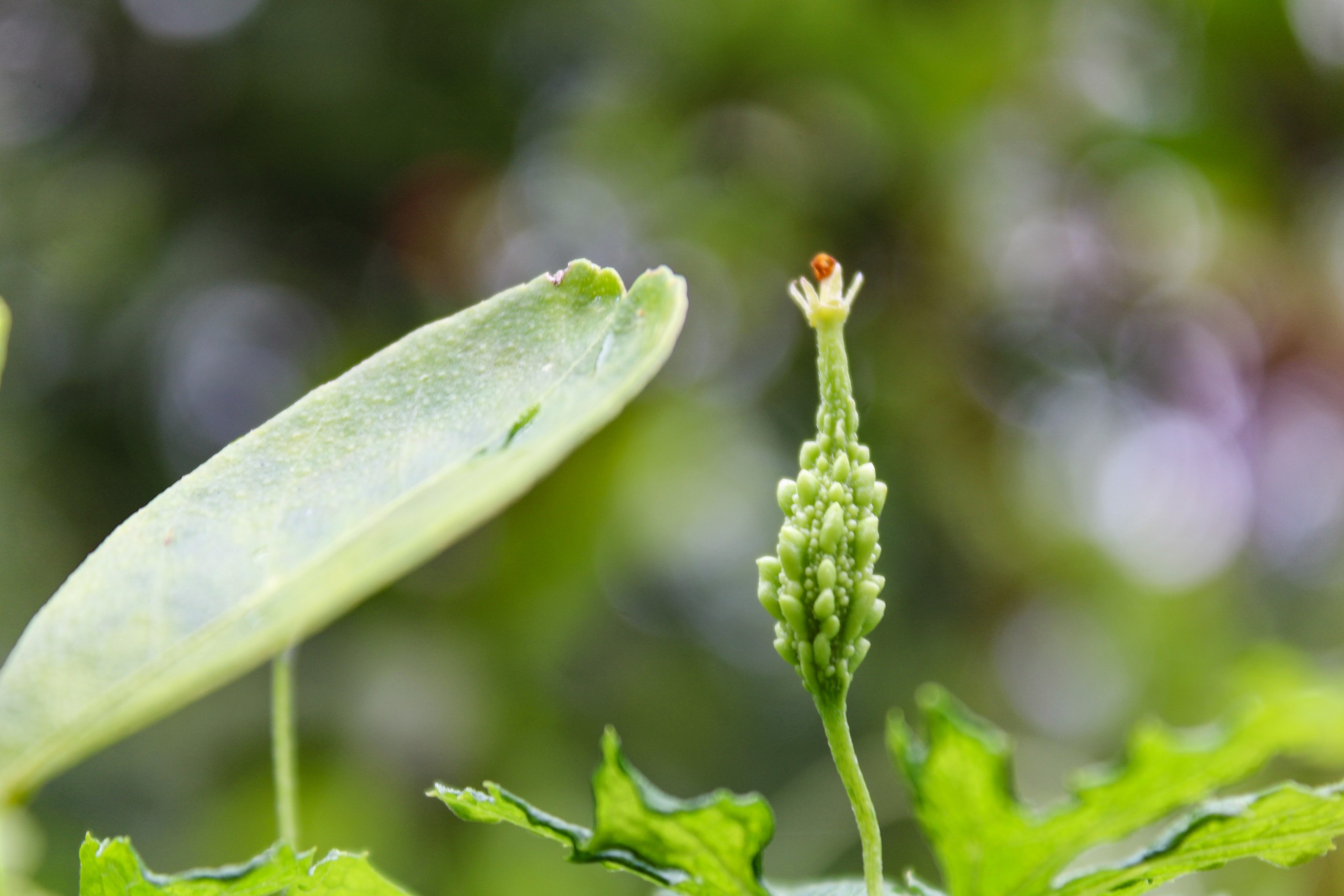 bitter gourd plant