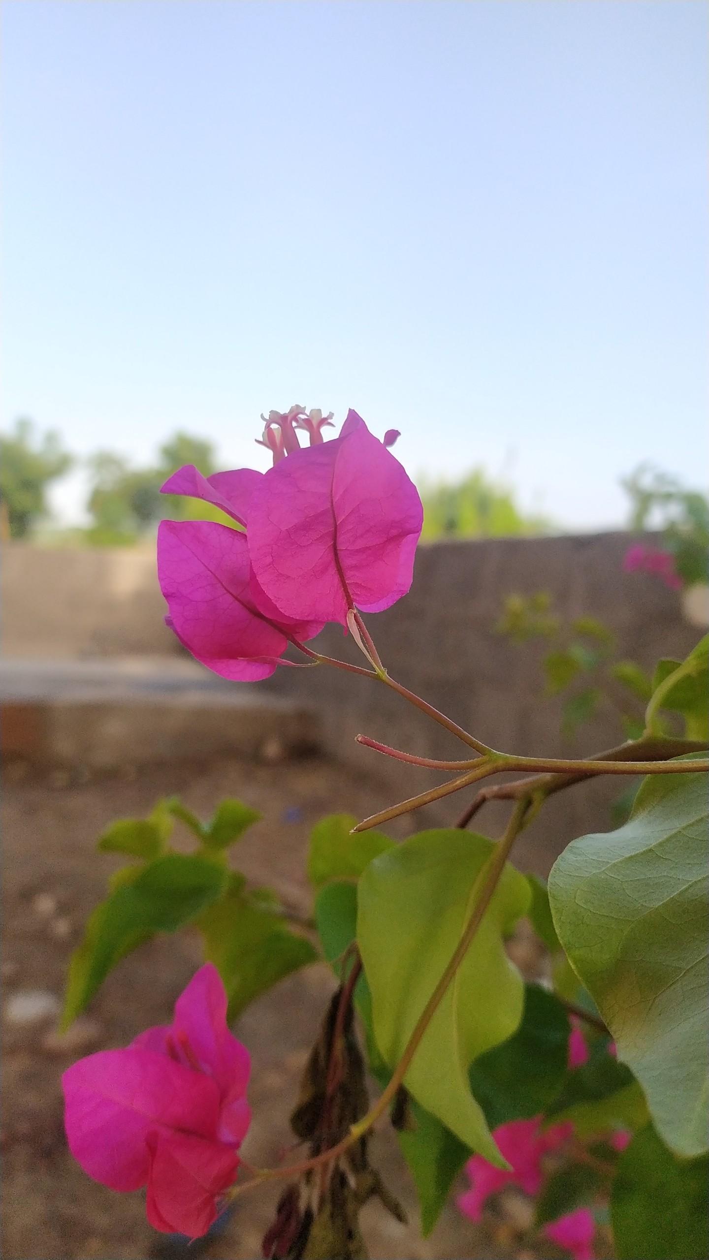 bougainvillea pink flower plant