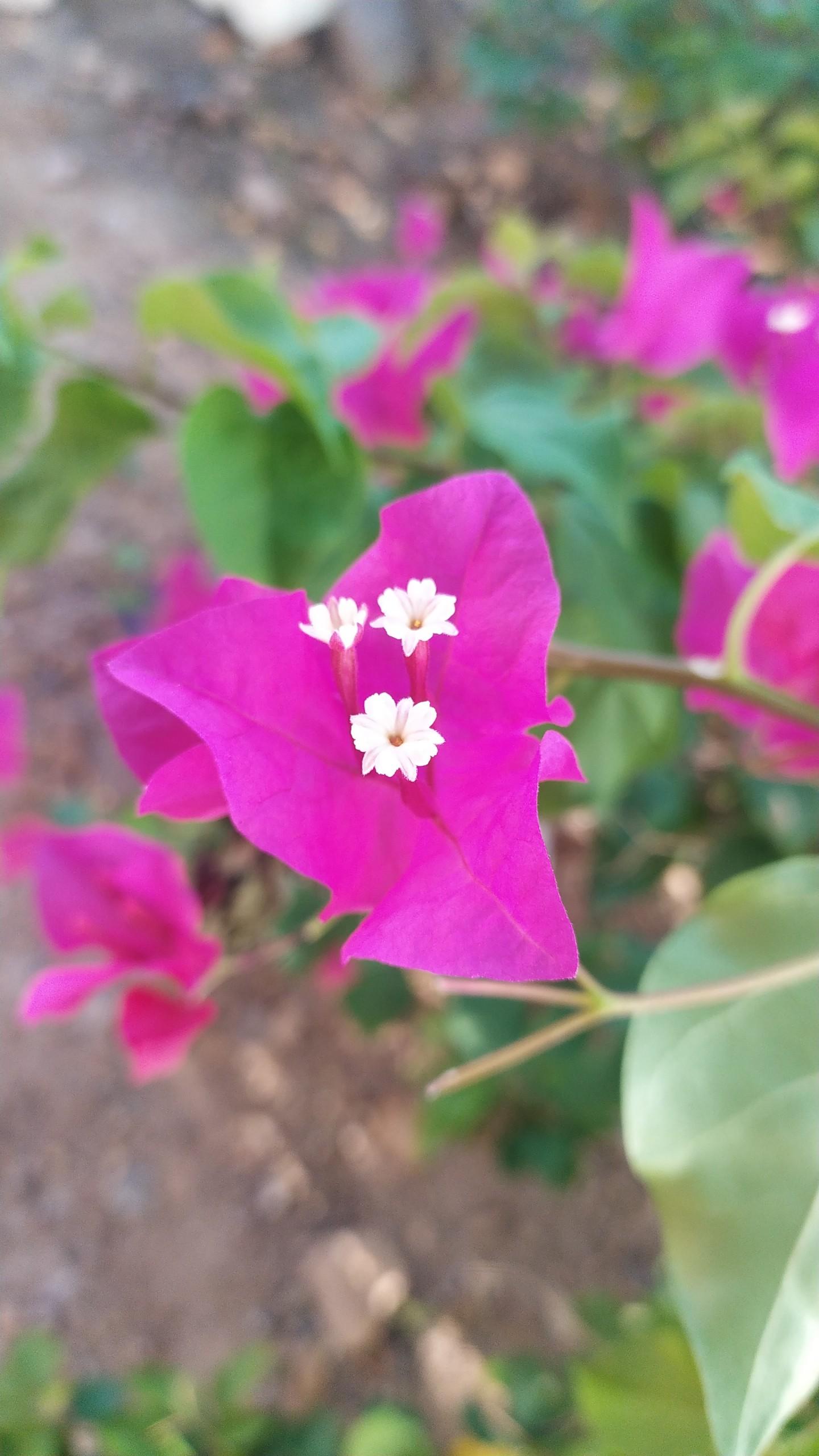 bougainvillea flower white buds