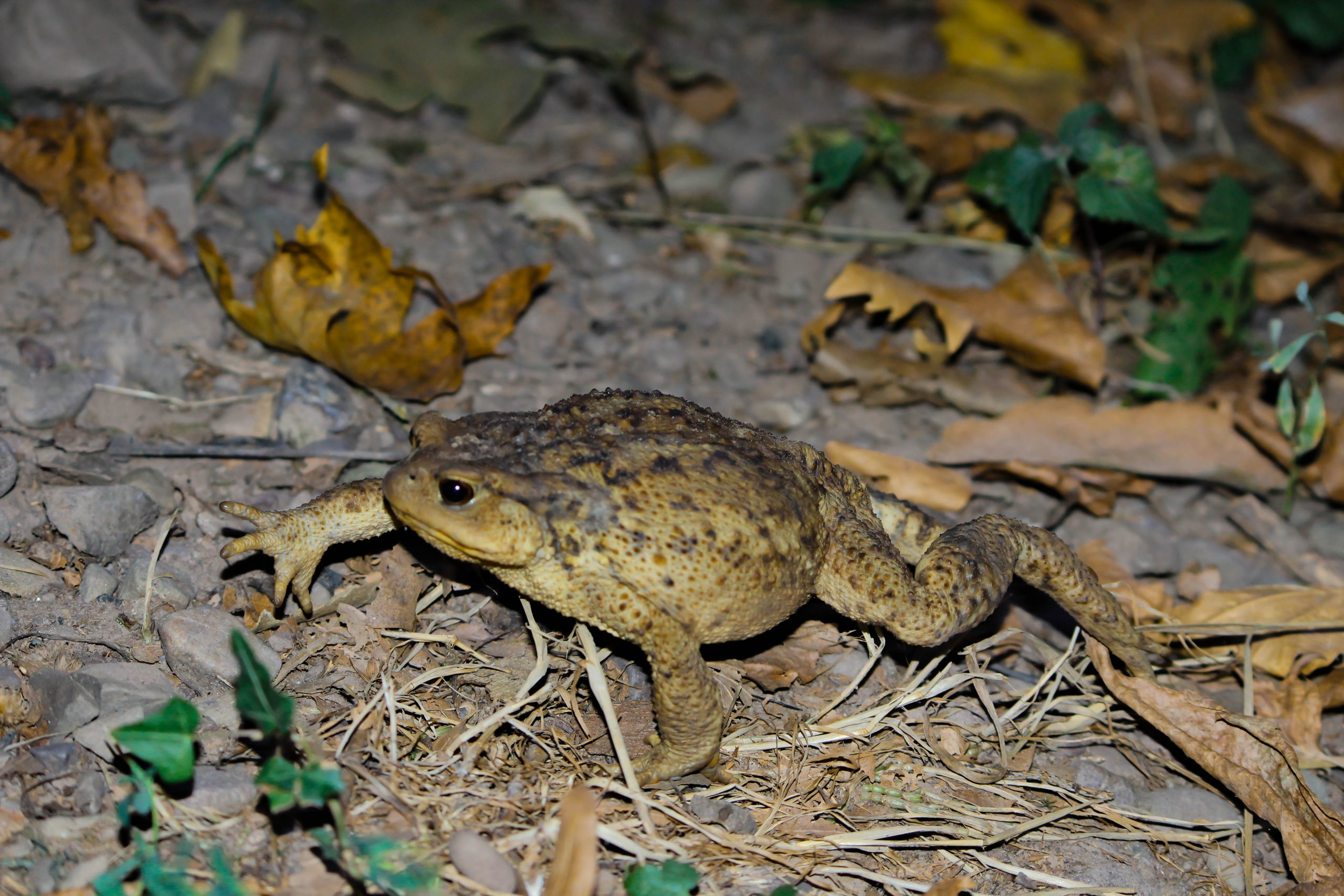 Common Toad on Focus