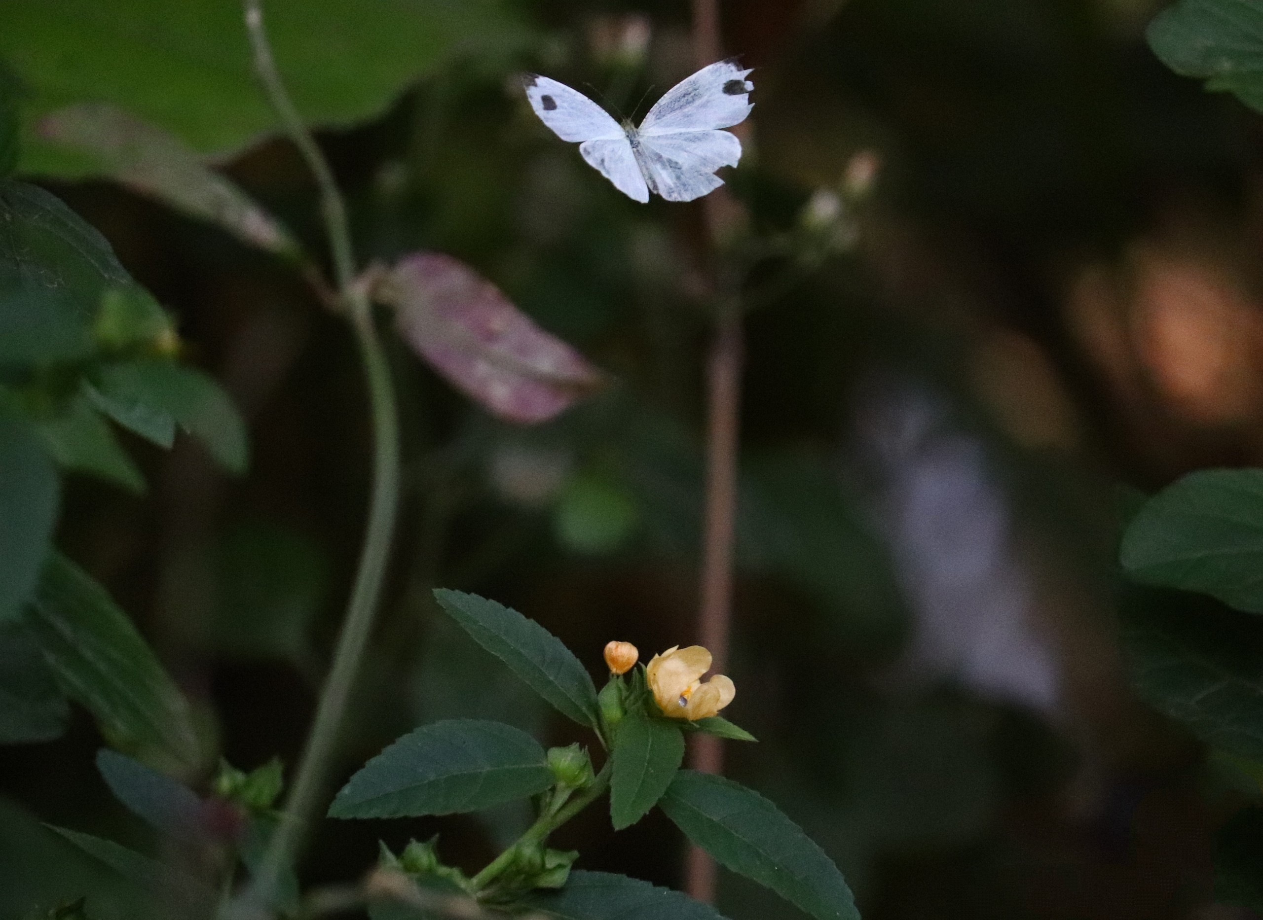 Butterfly (Wildlife)