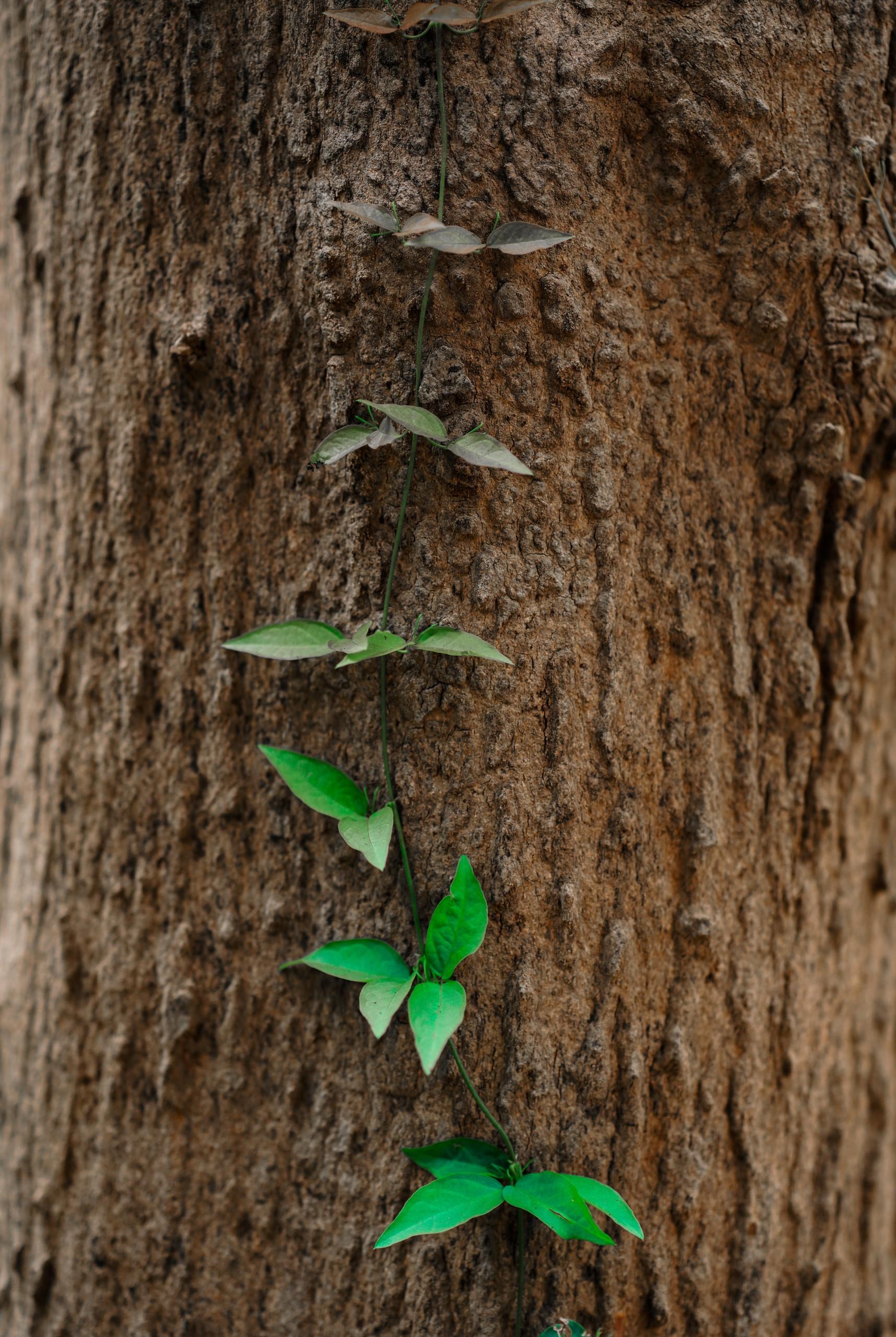 Climbing plant on a tree