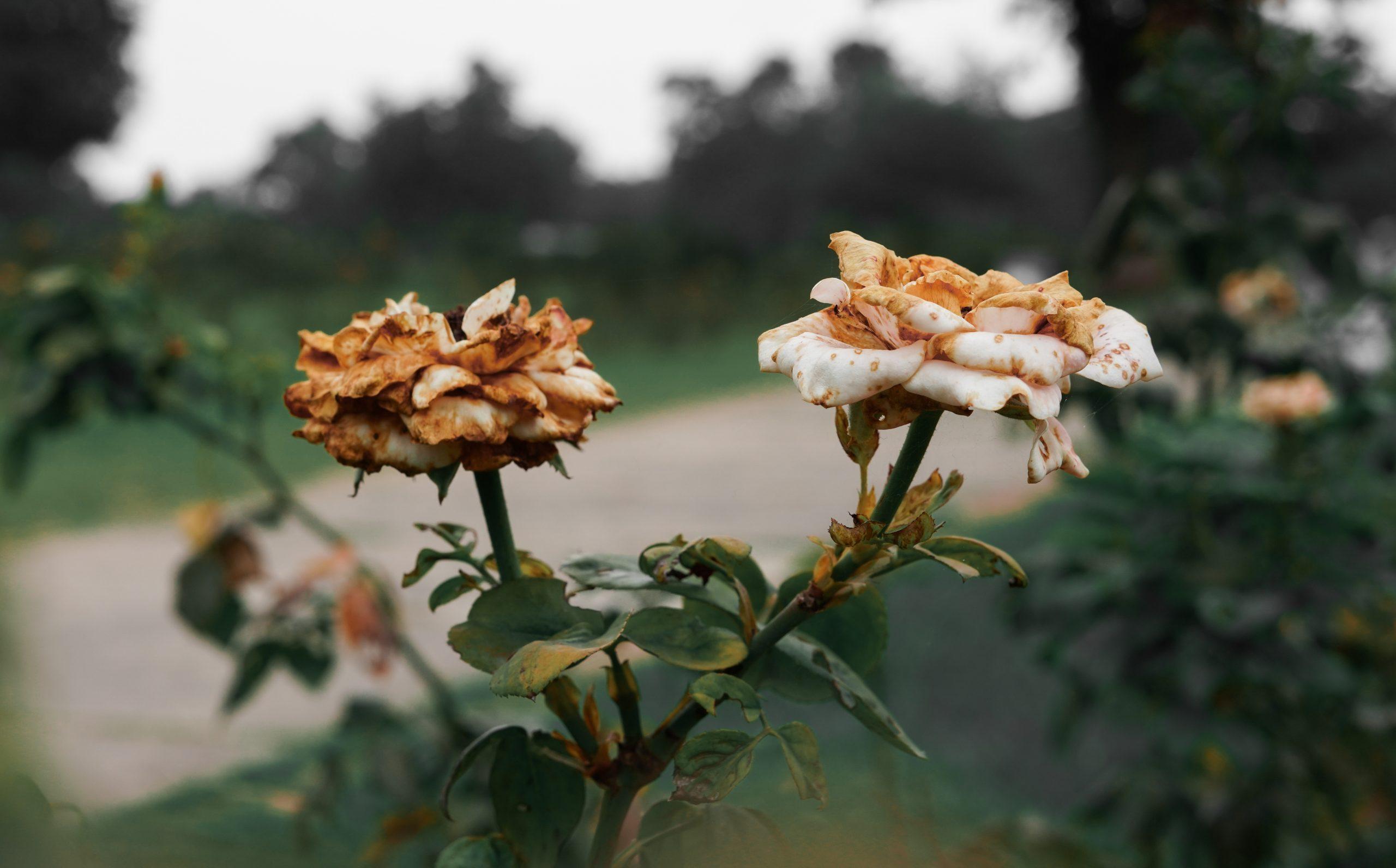 Dead Rose Flower