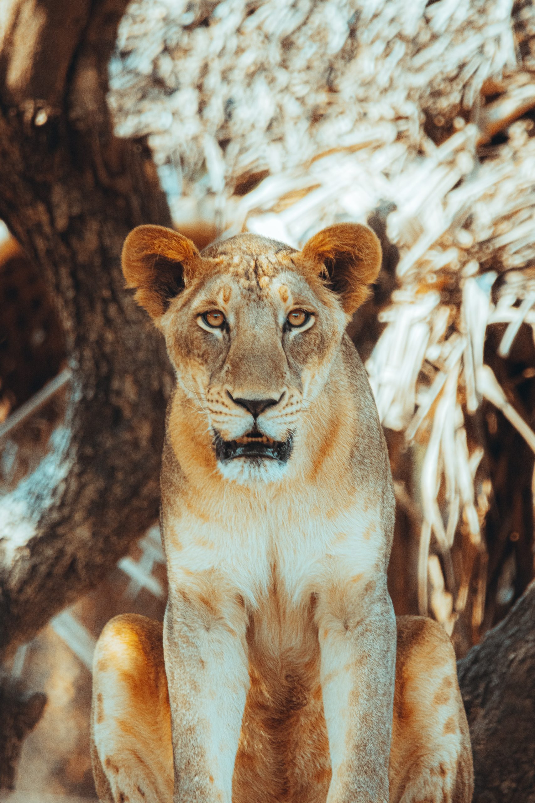 Deadly Lion staring at camera
