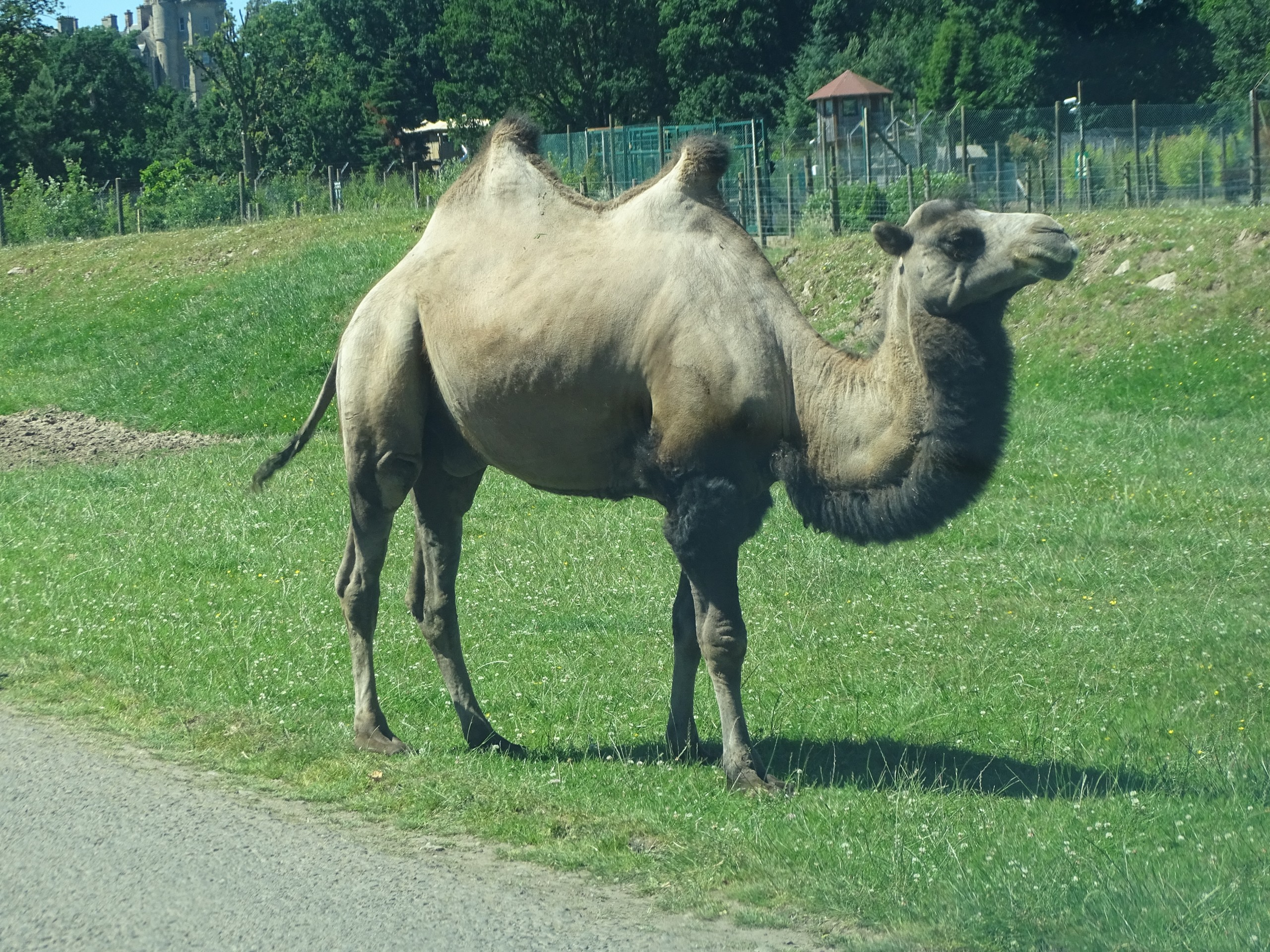 Double Humped Camel