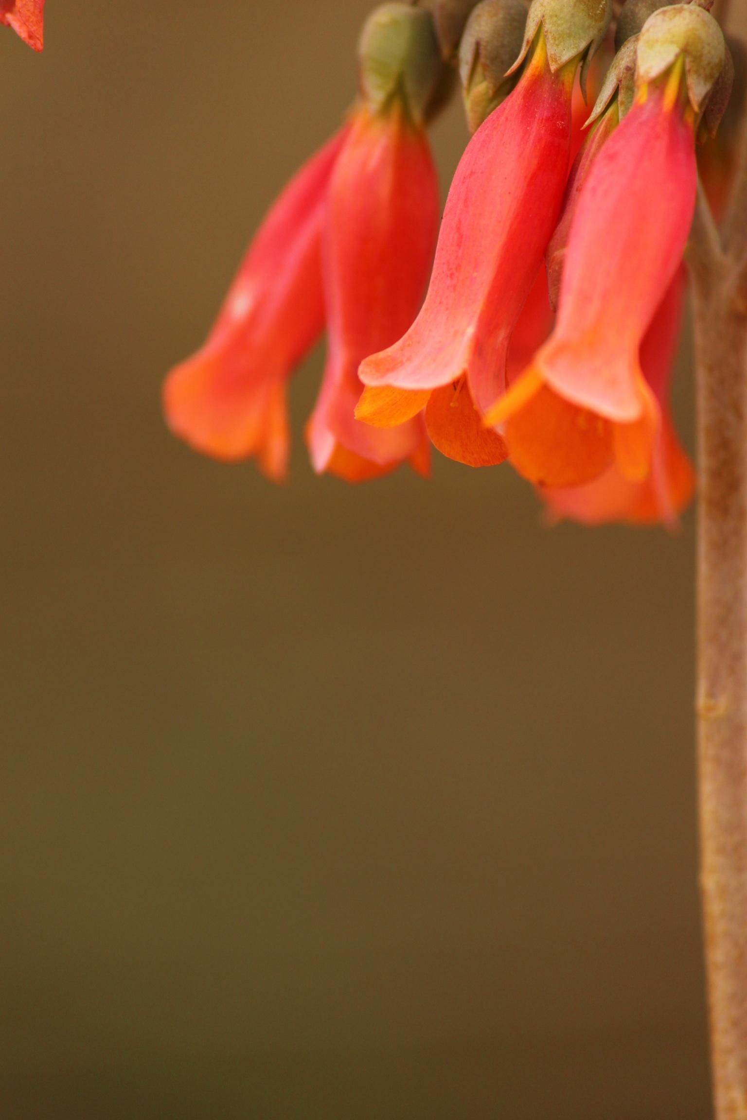 Hanging flower bud