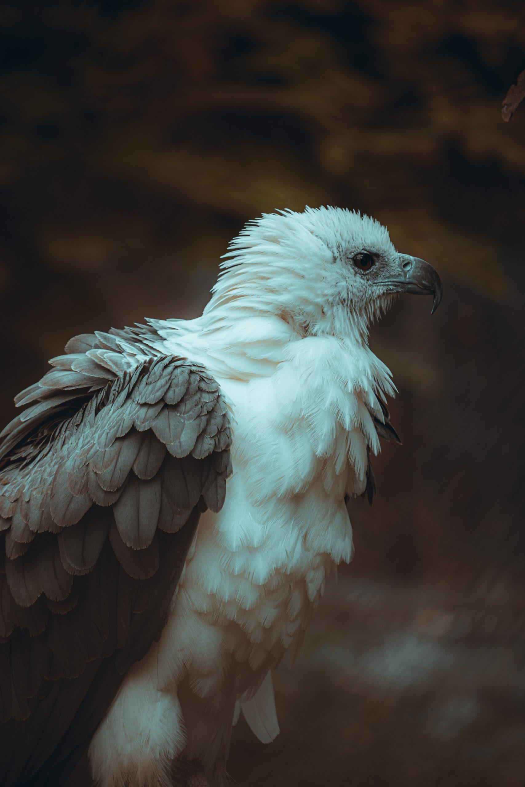 Fluffy white bellied sea eagle