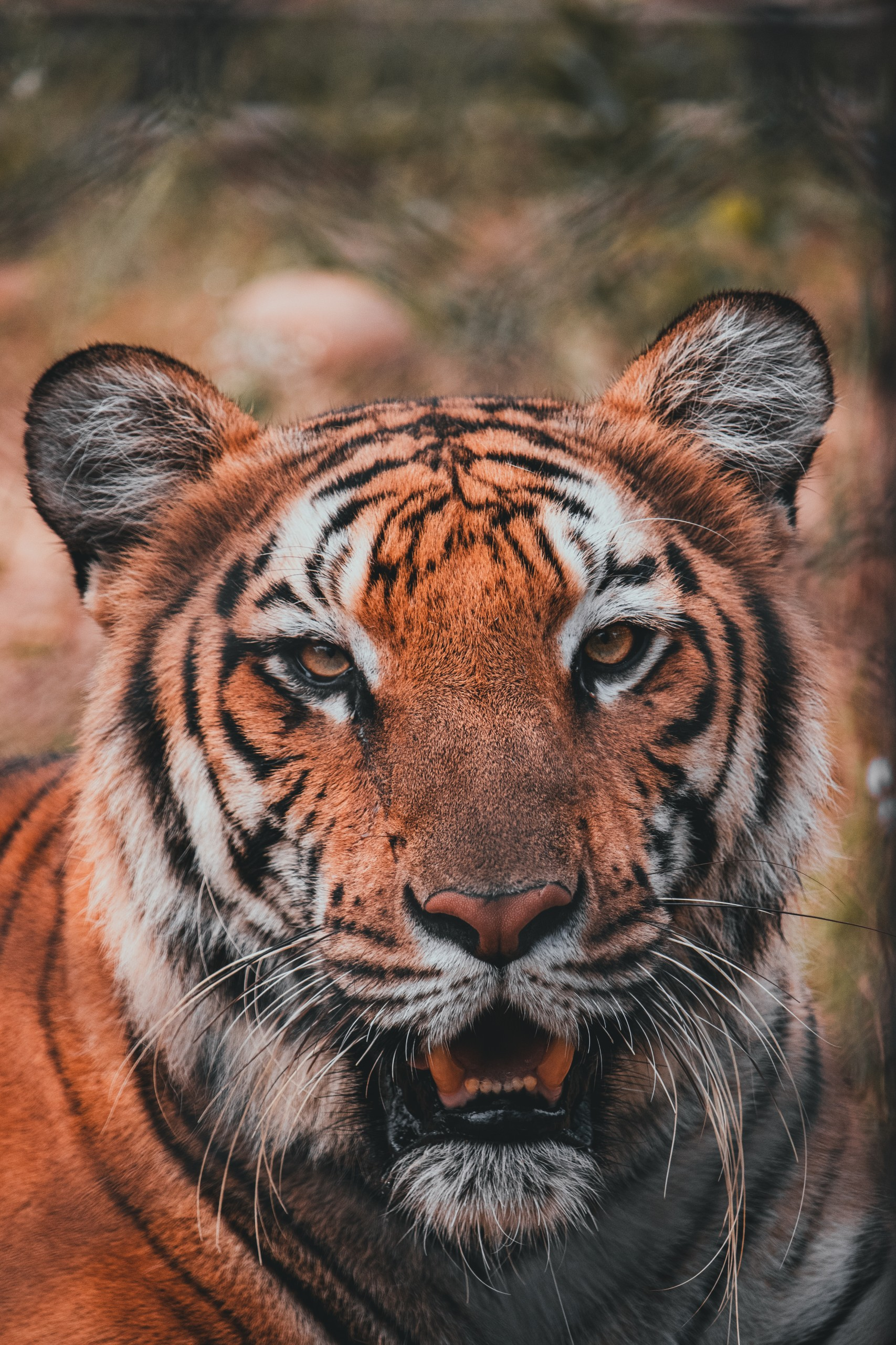 Full Portrait of a tiger