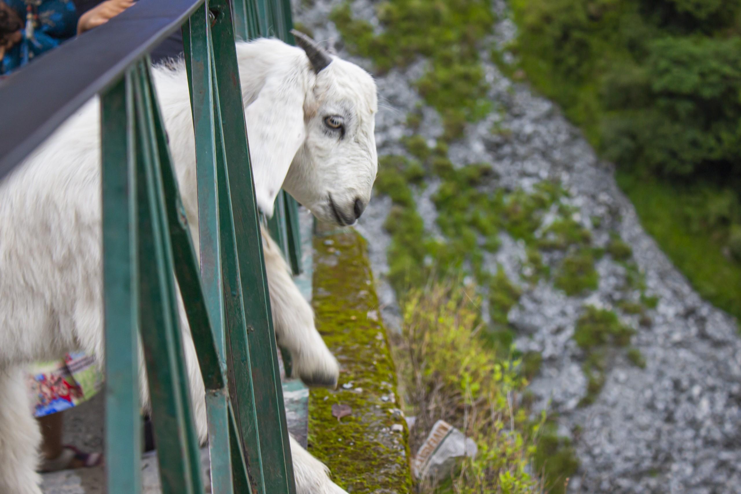 Goat peeking out on a railing