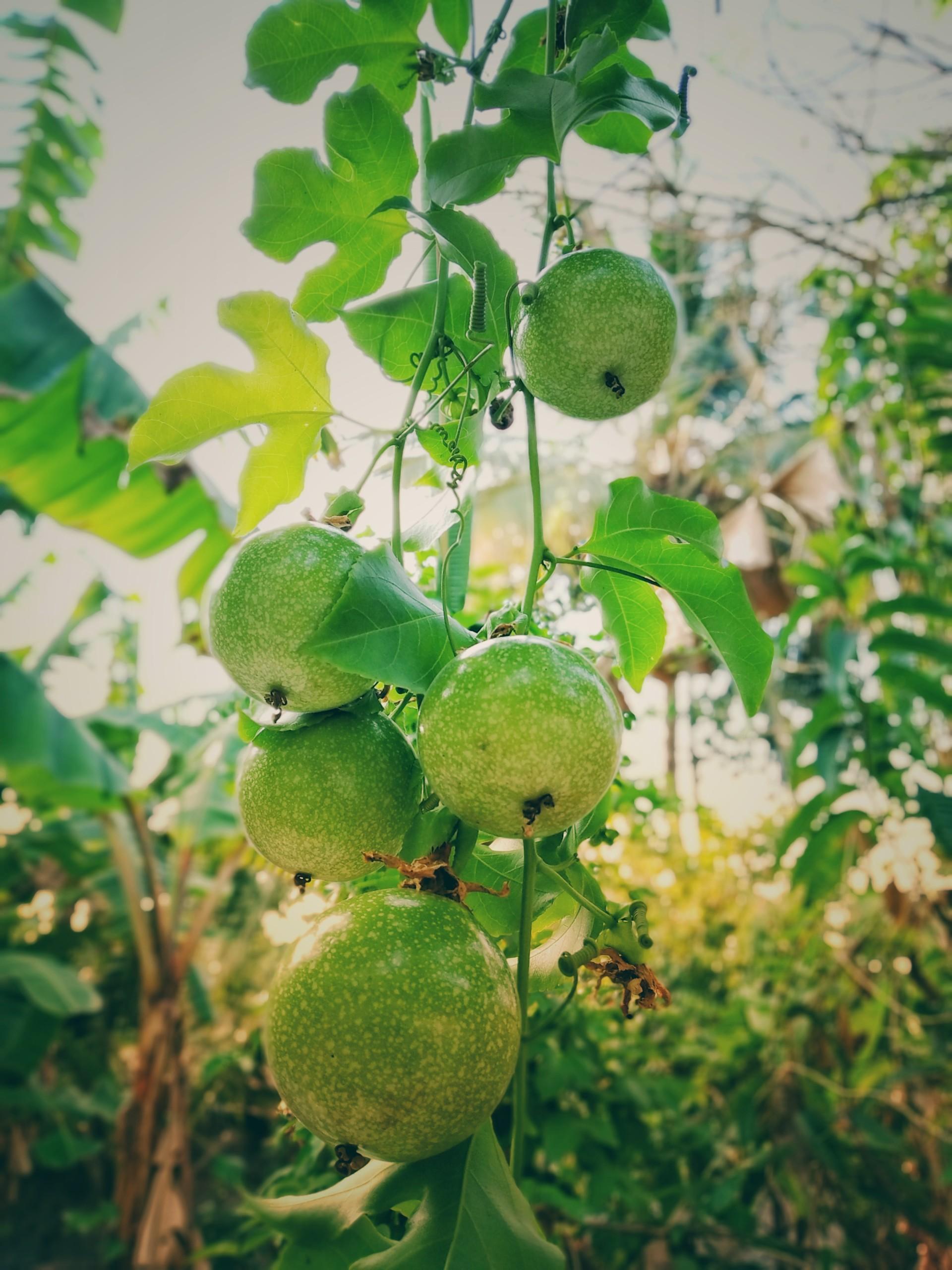 Green Fruit Plant