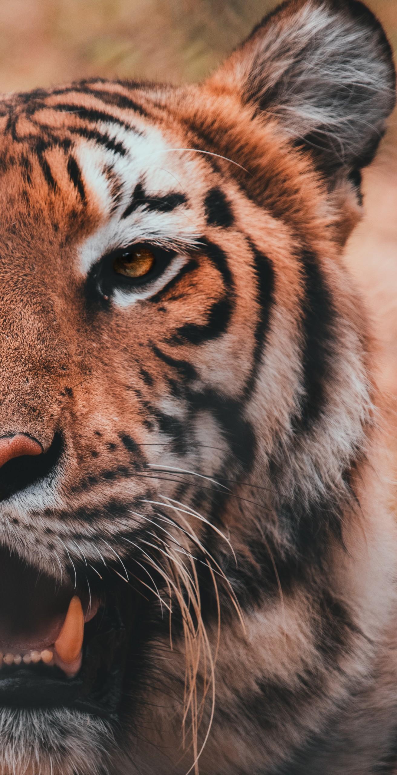 Half portrait of a tiger