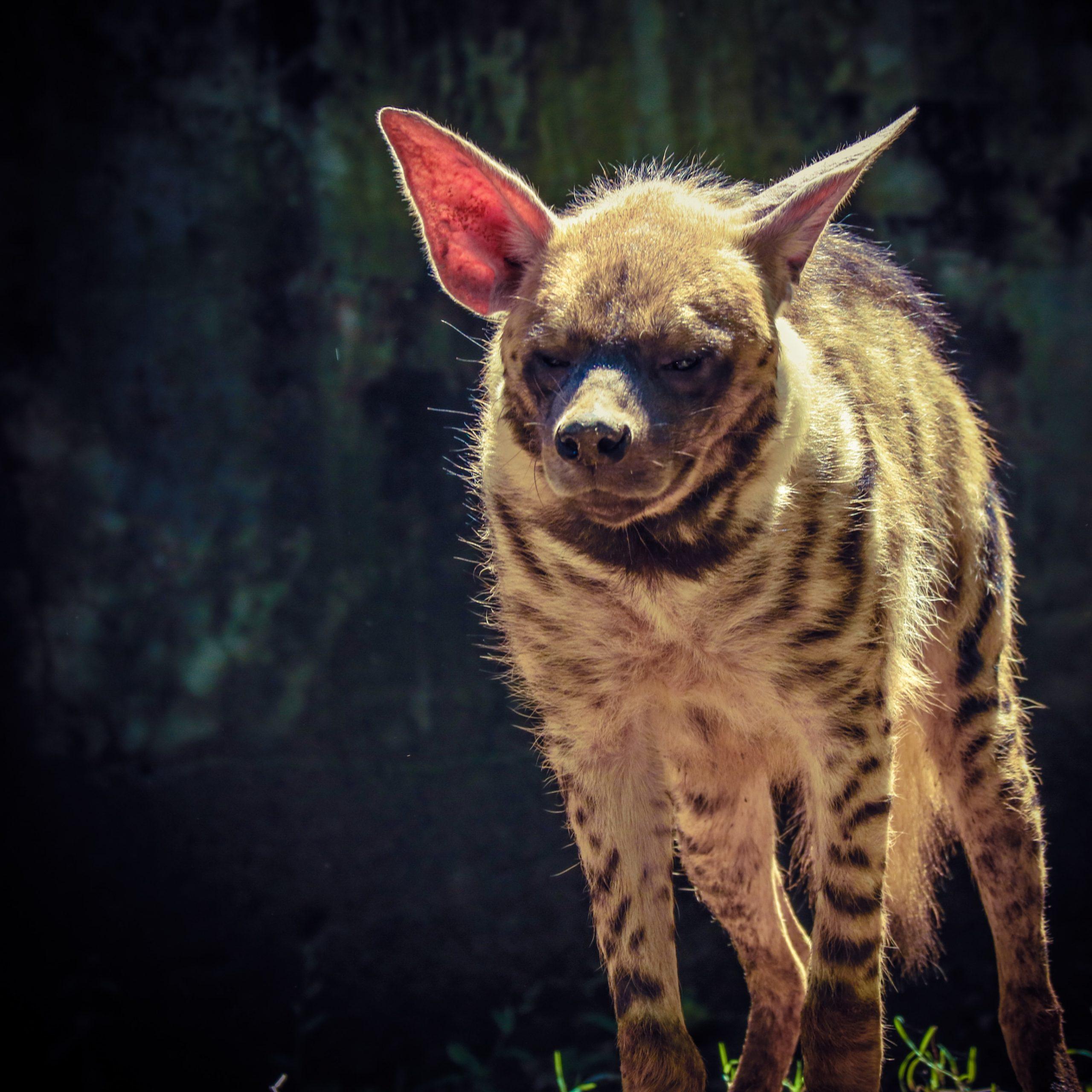 Hyena walking