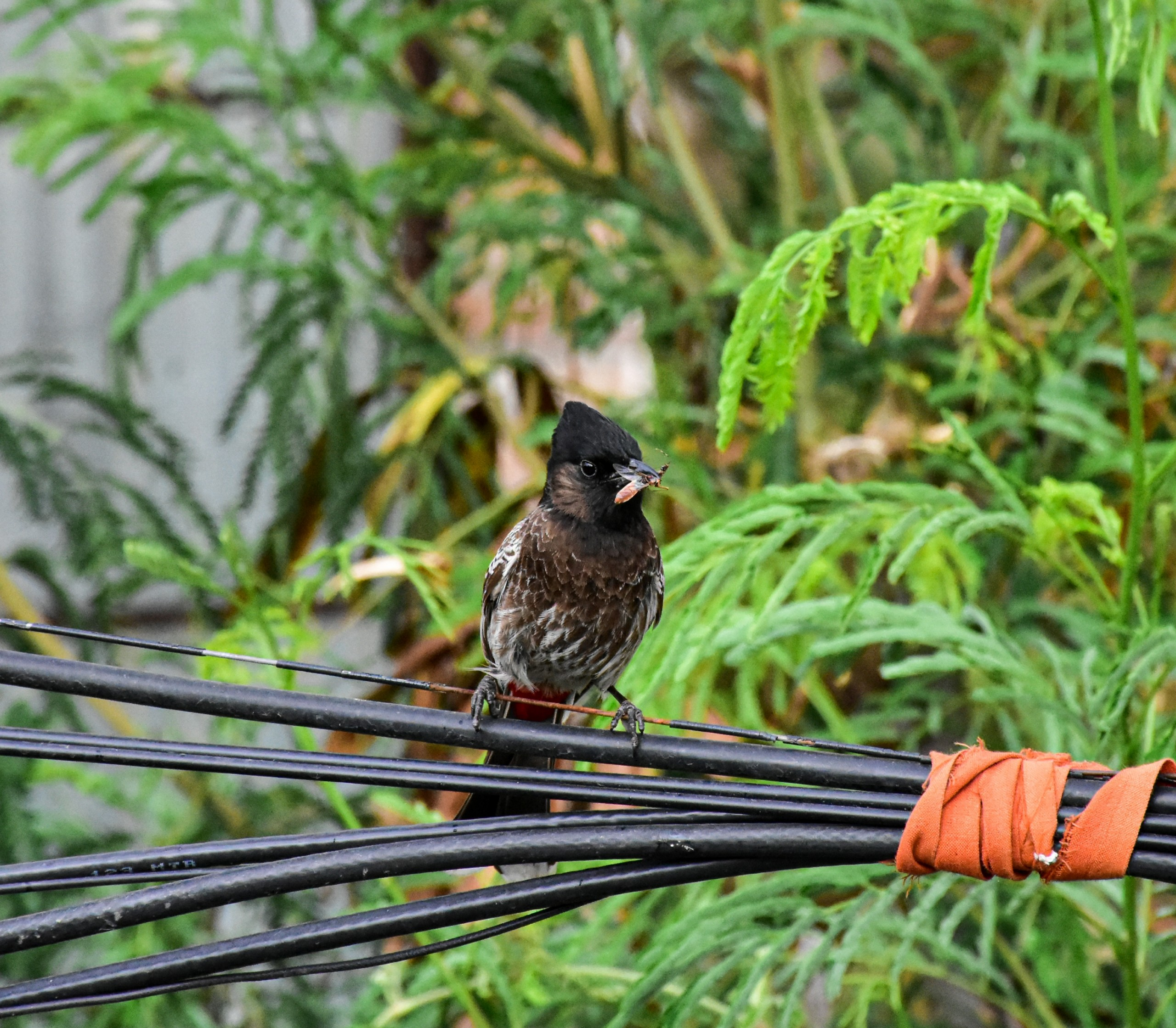 Indian Bird Eating Insect