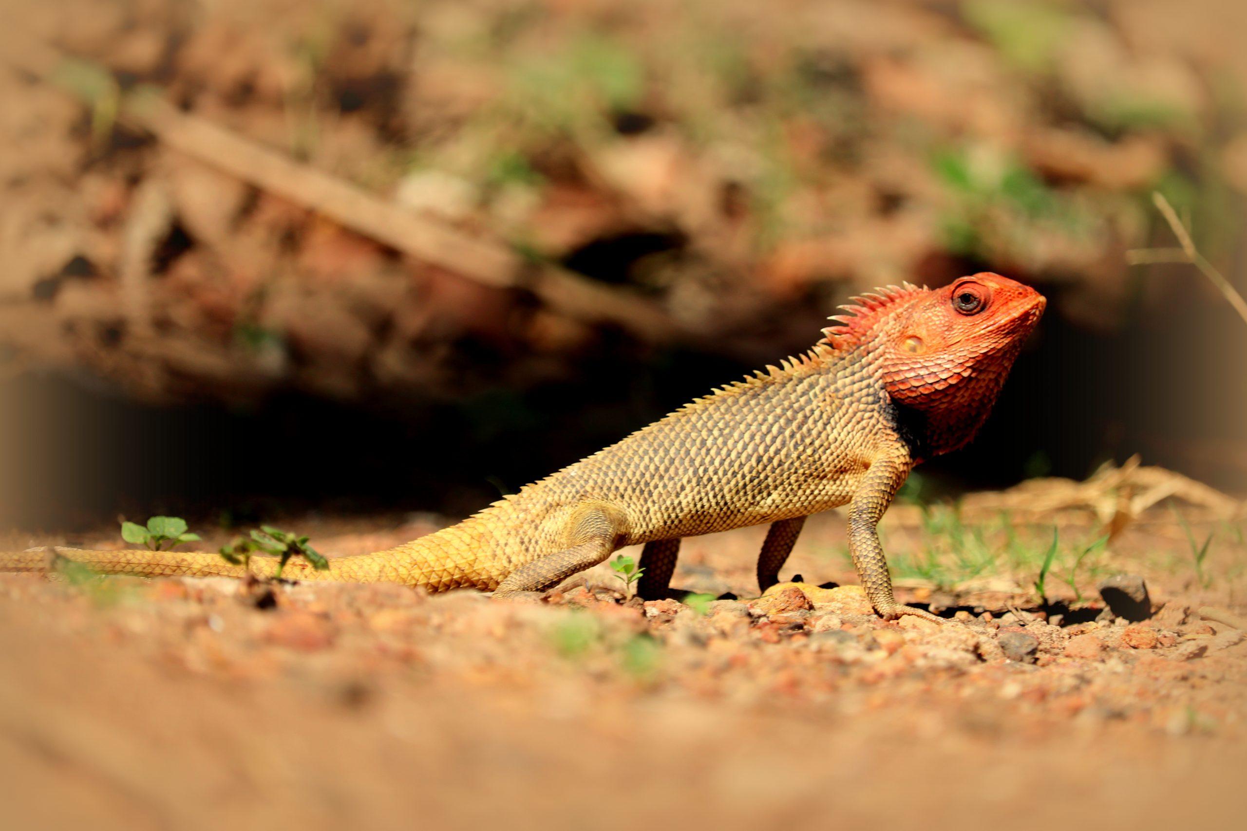 Red headed chameleon