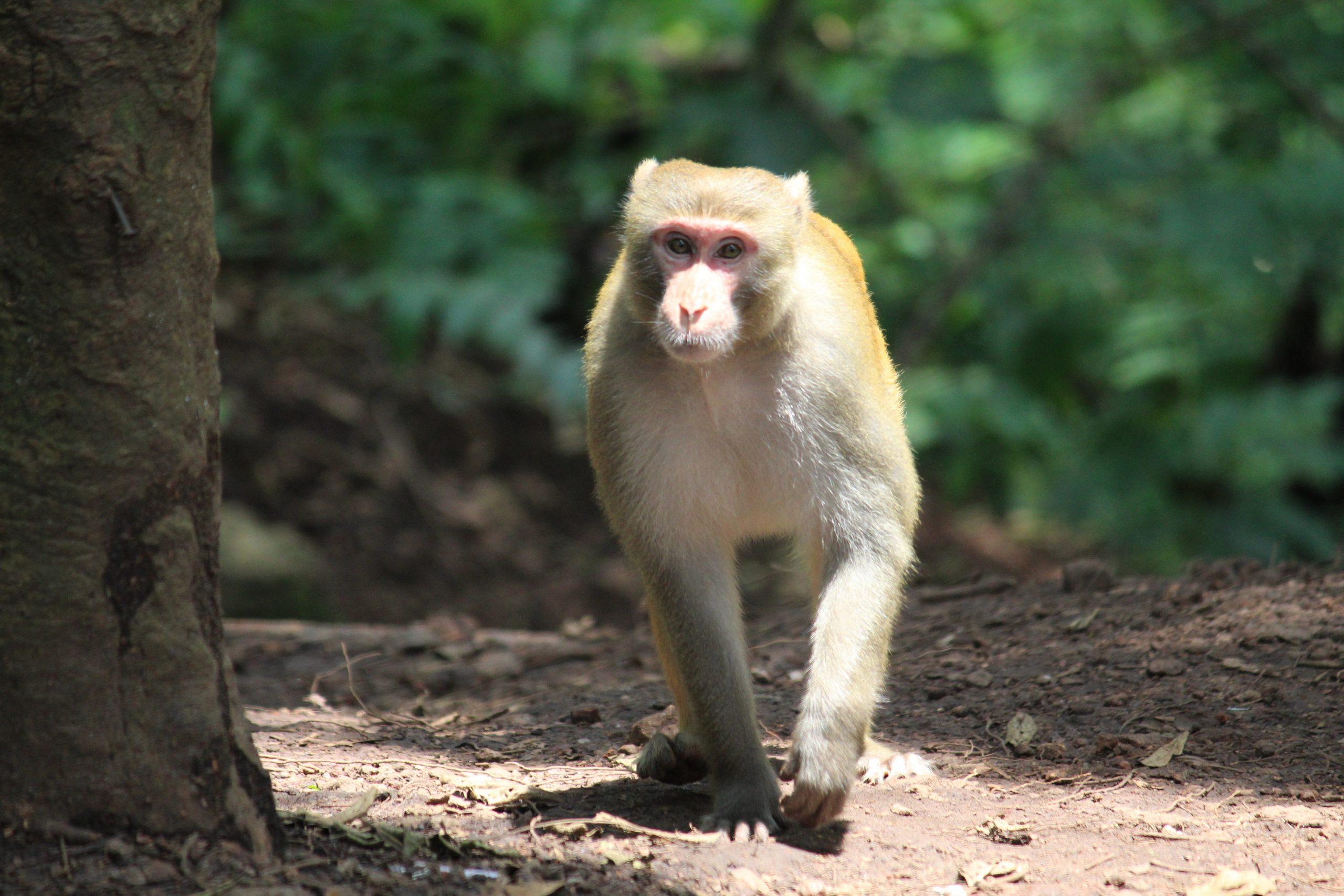 Indian Monkey walking