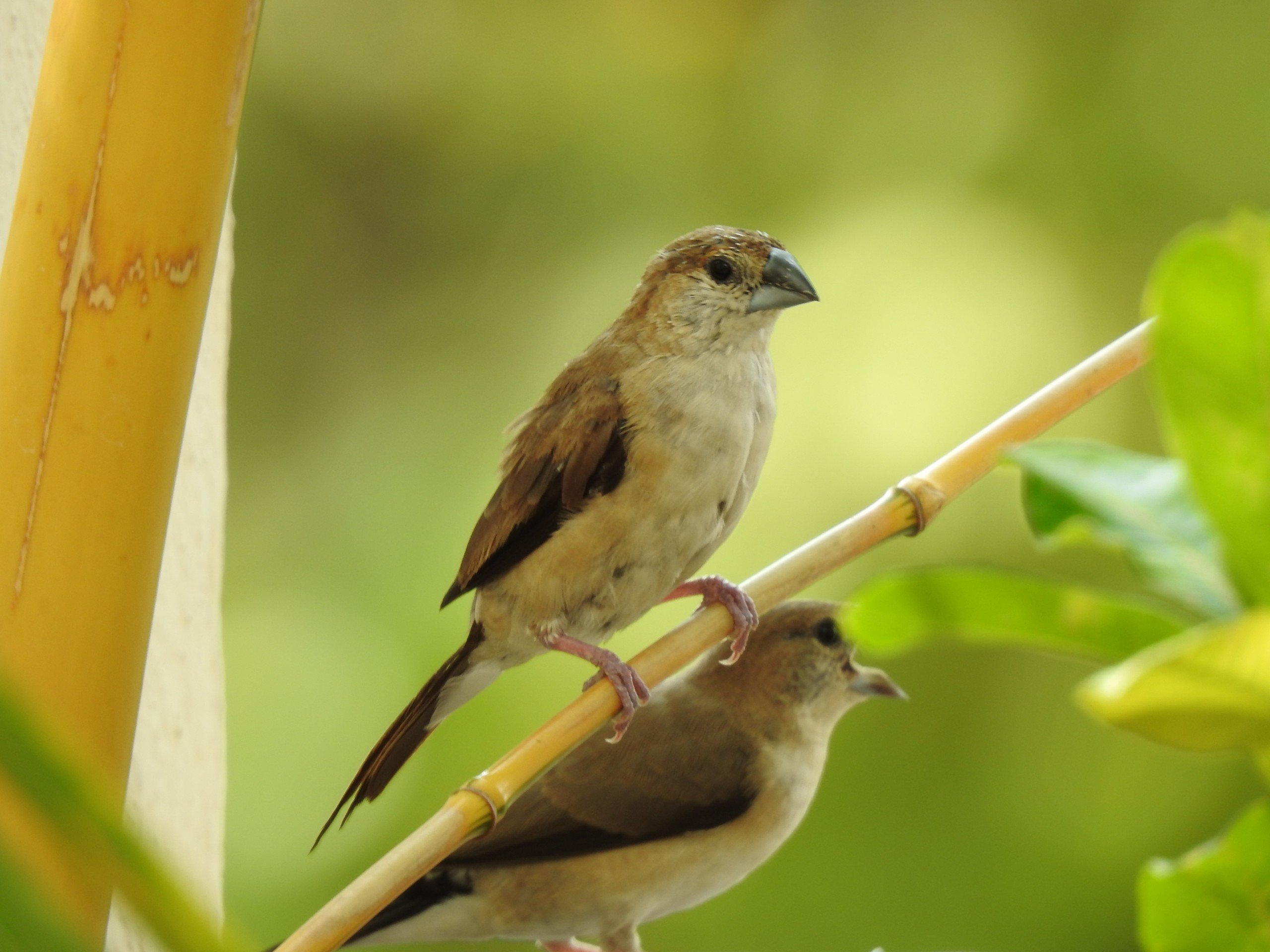 Indian Silverbills on branches