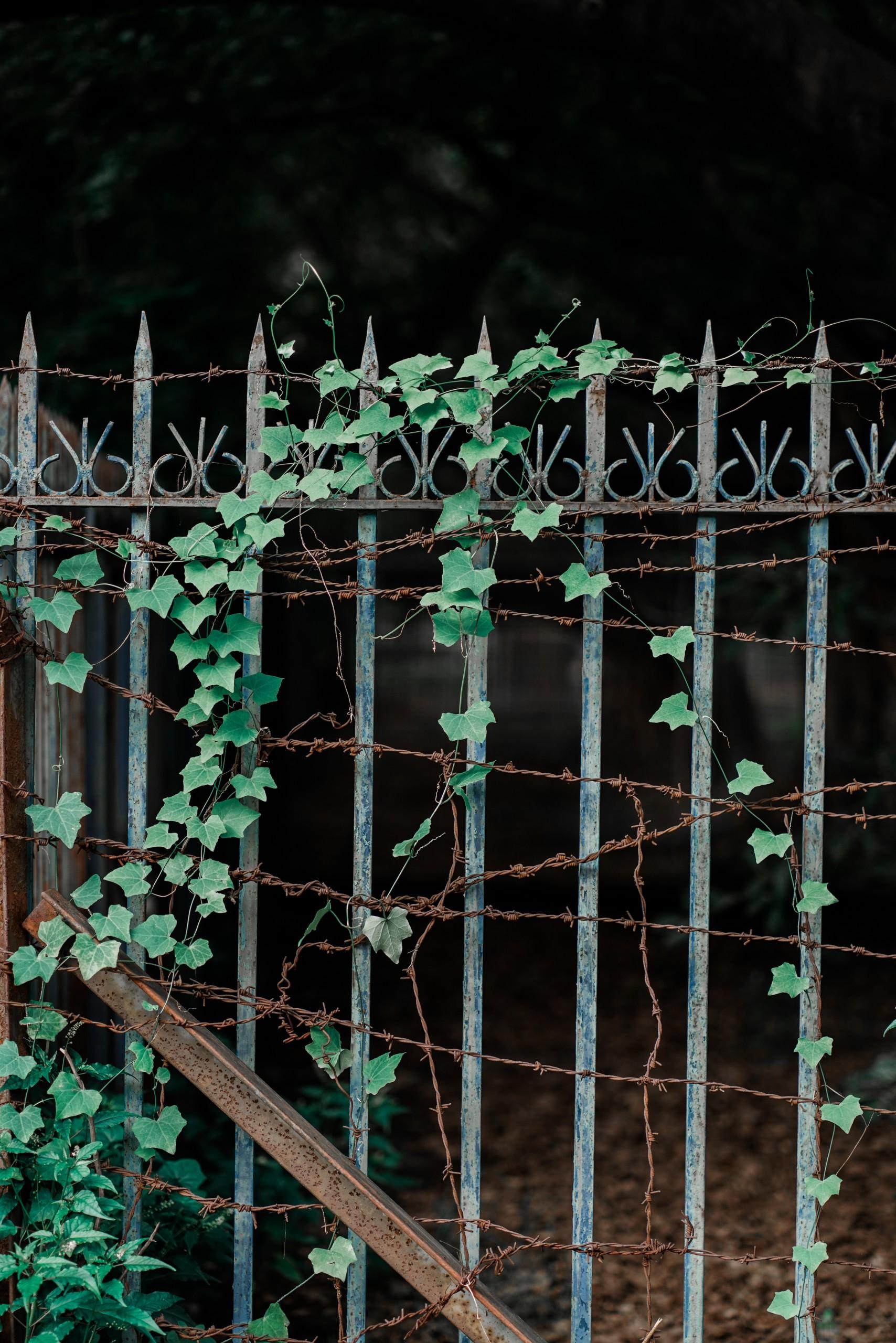 Ivy Climbing on Railing