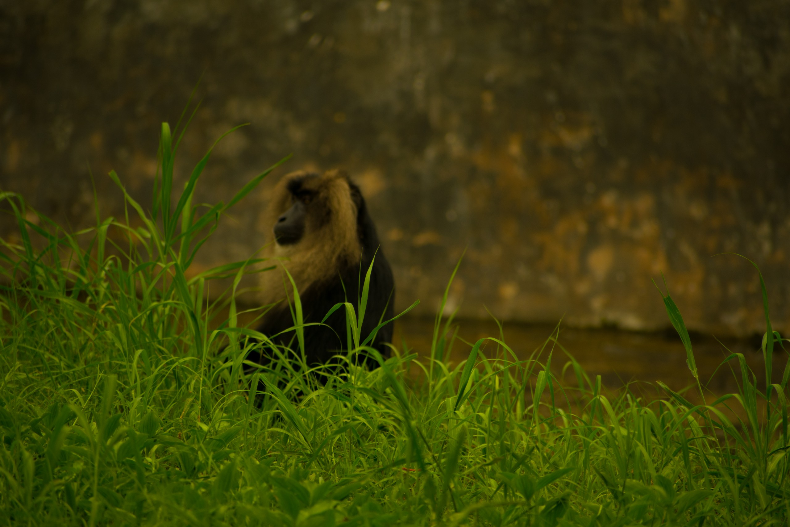 Lion-tailed macaque on Grass