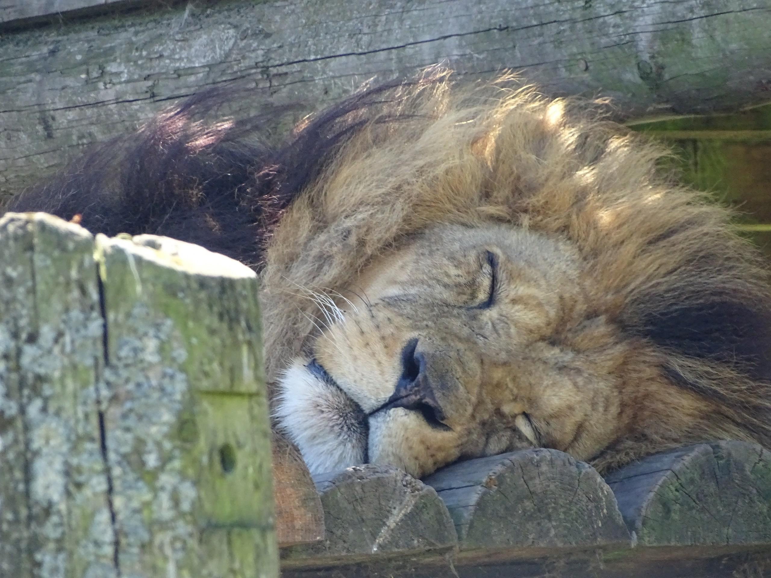 Lion taking a nap