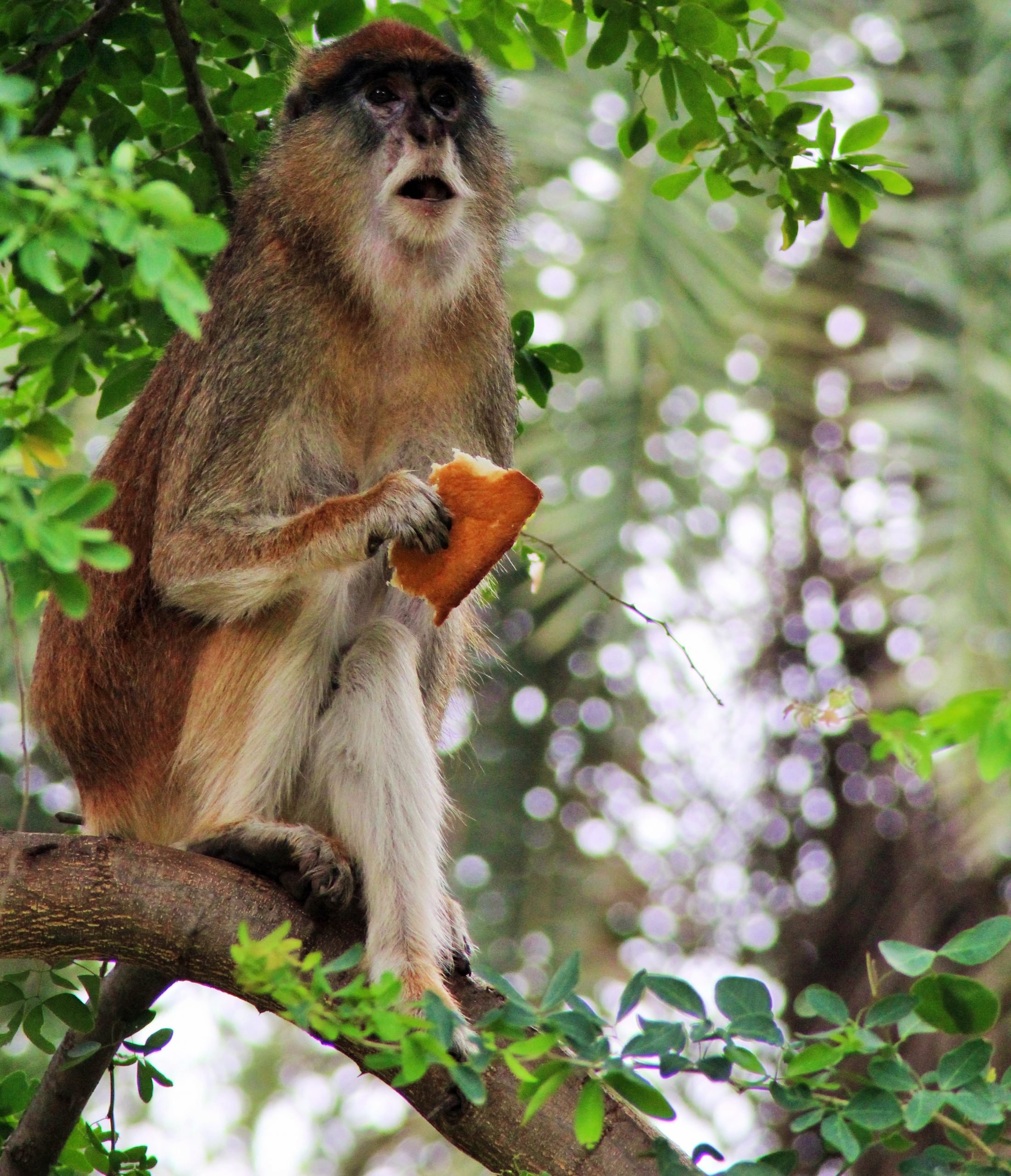 Monkey with bread in hand