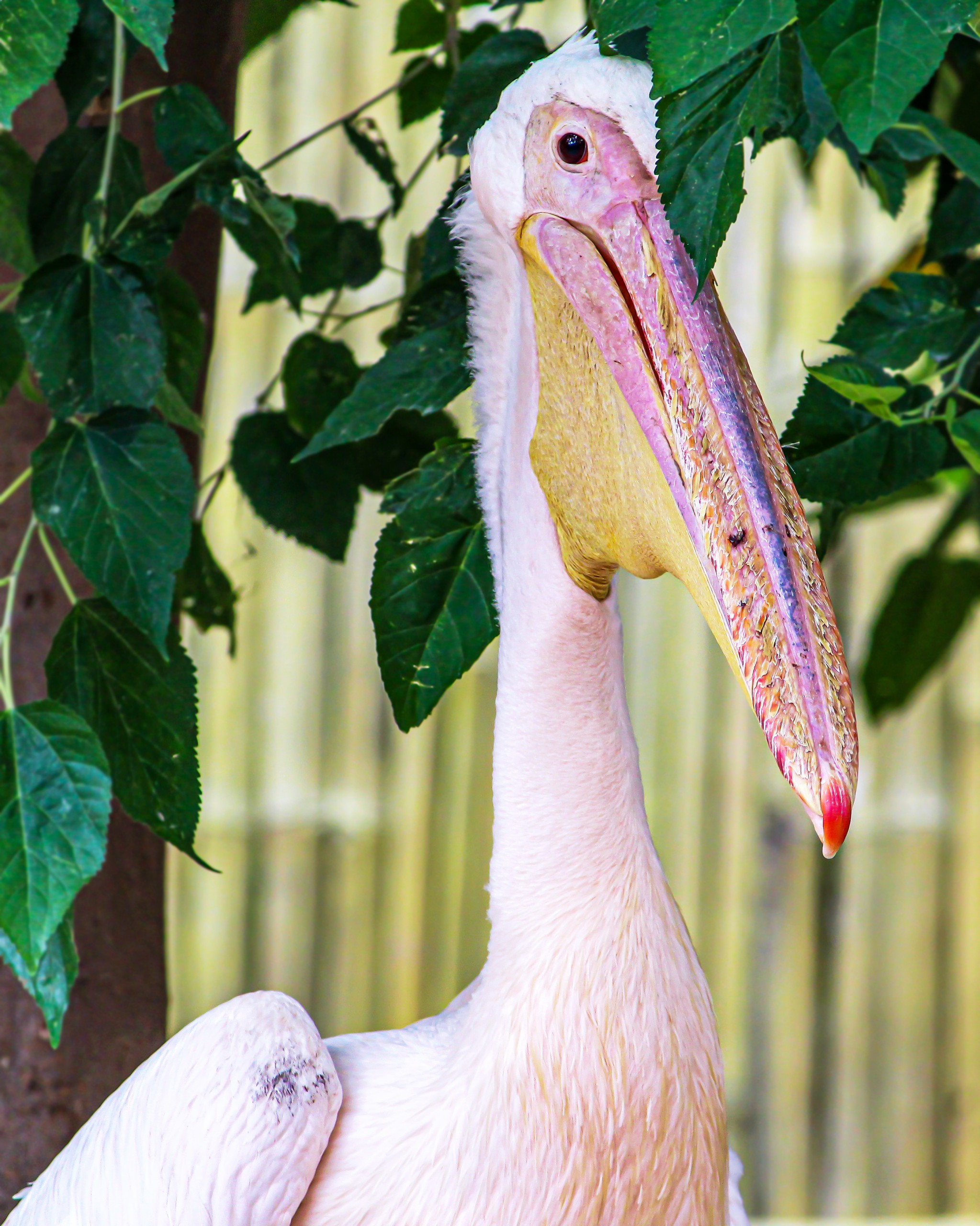 Pelican Bird with Beak