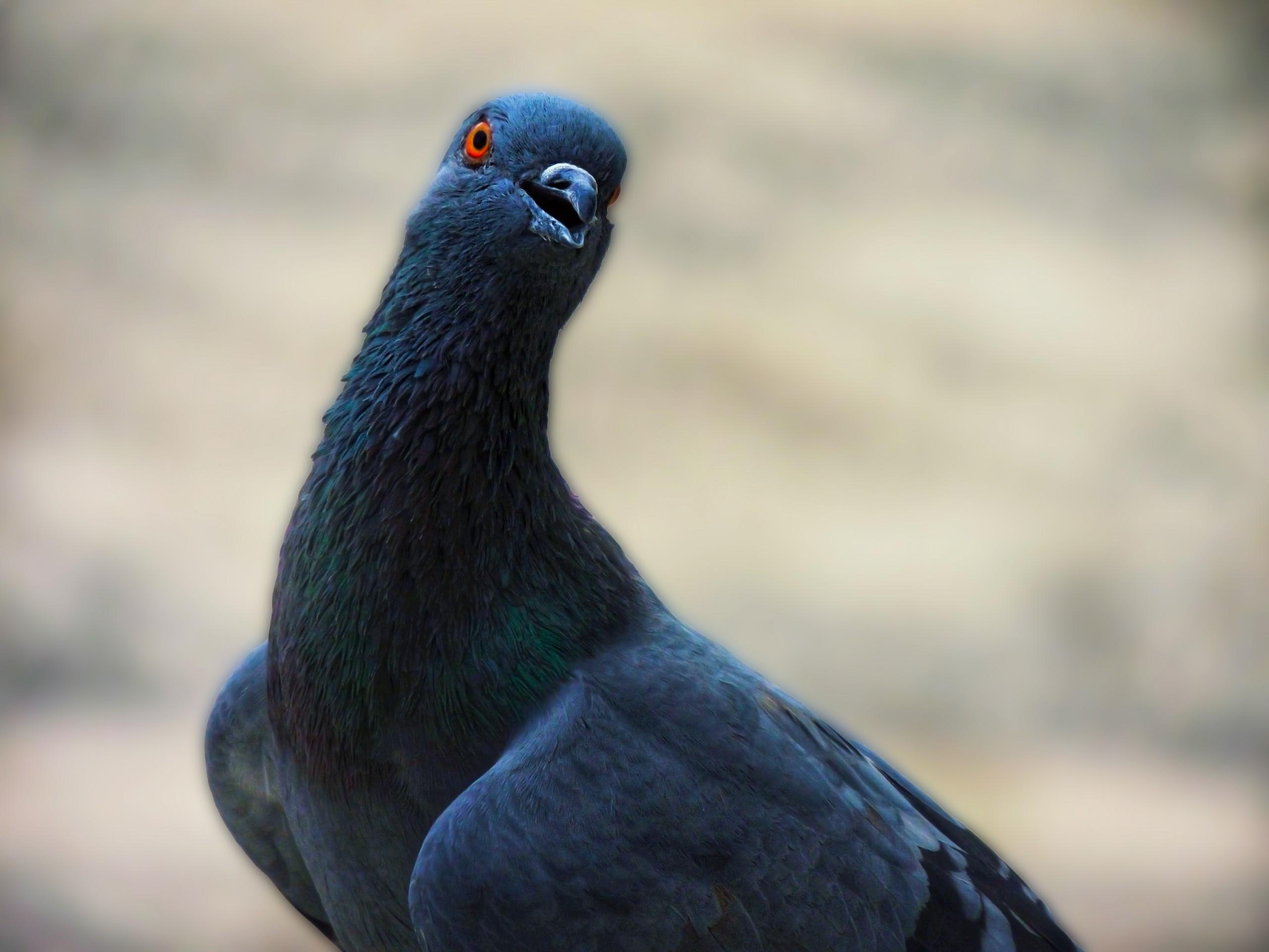 Rock Pigeon on Focus