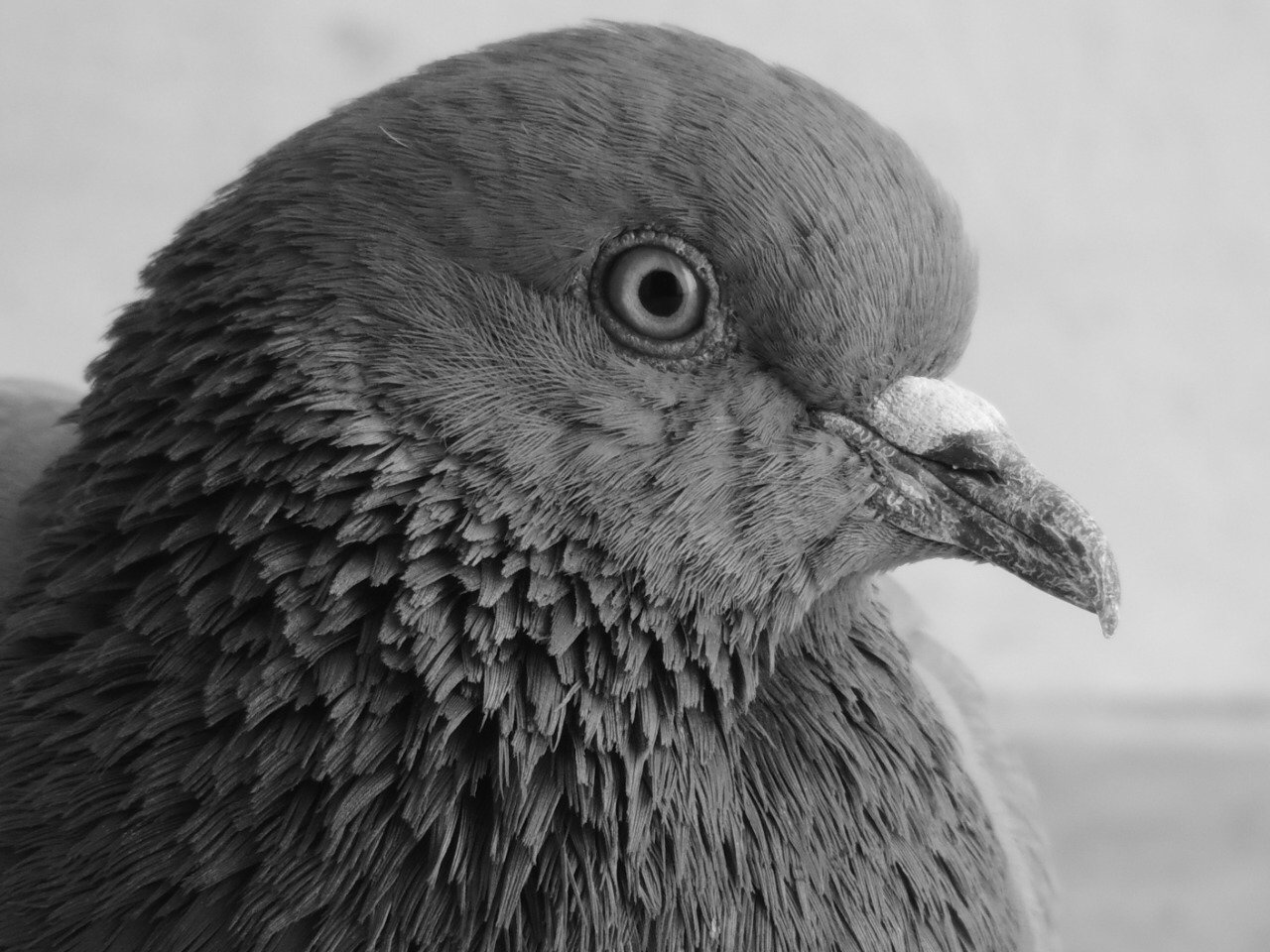 Monochrome Pigeon
