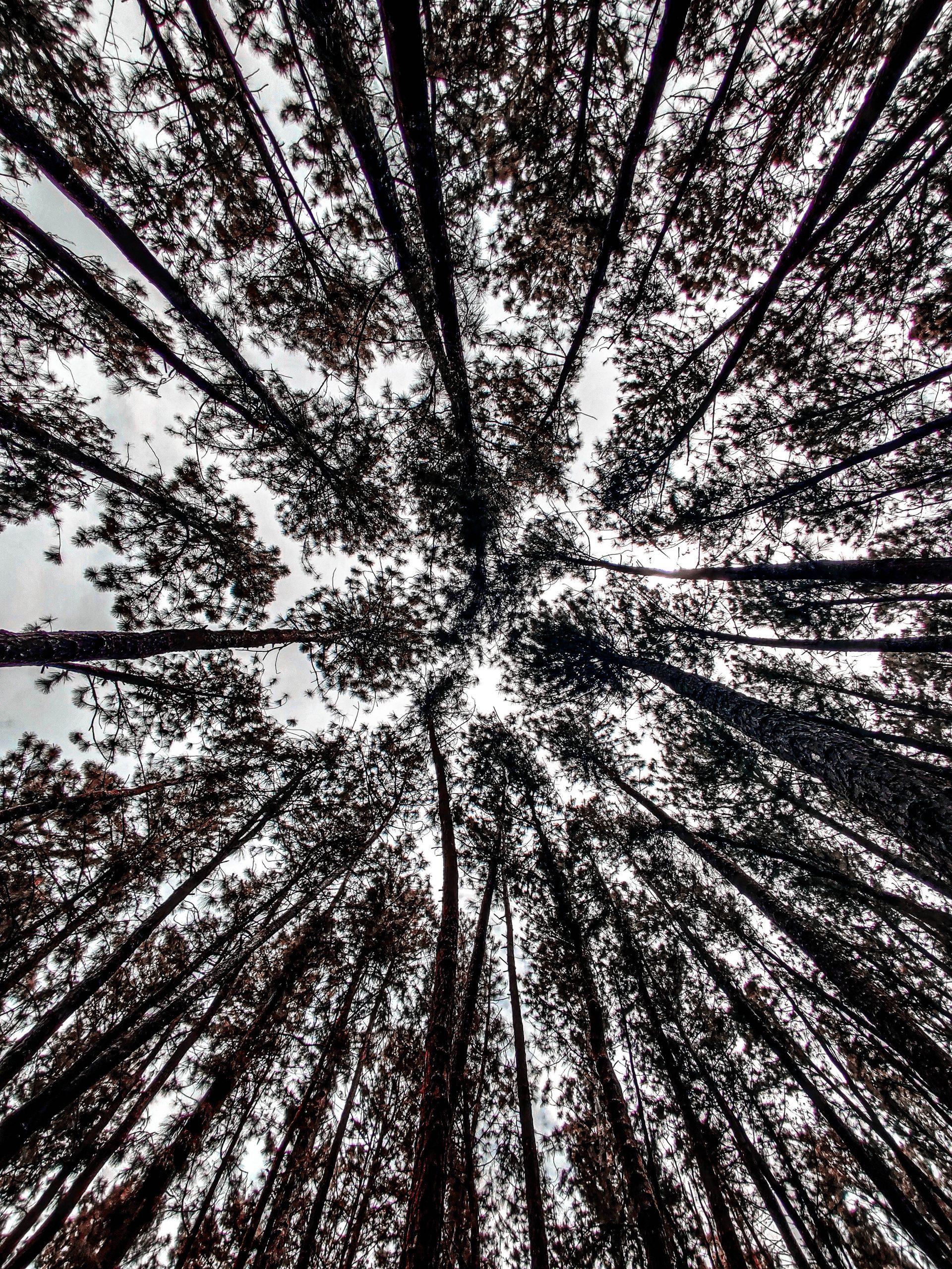 low angle shot of pine trees