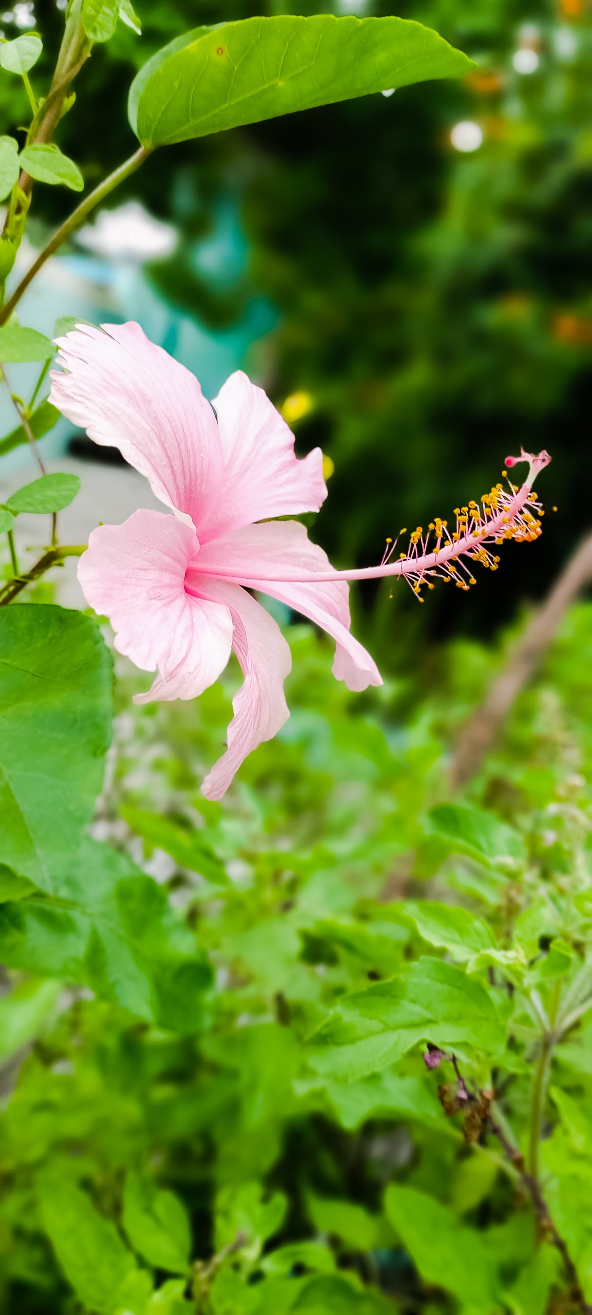 Pink Hawaiian Hibiscus Flower on Focus