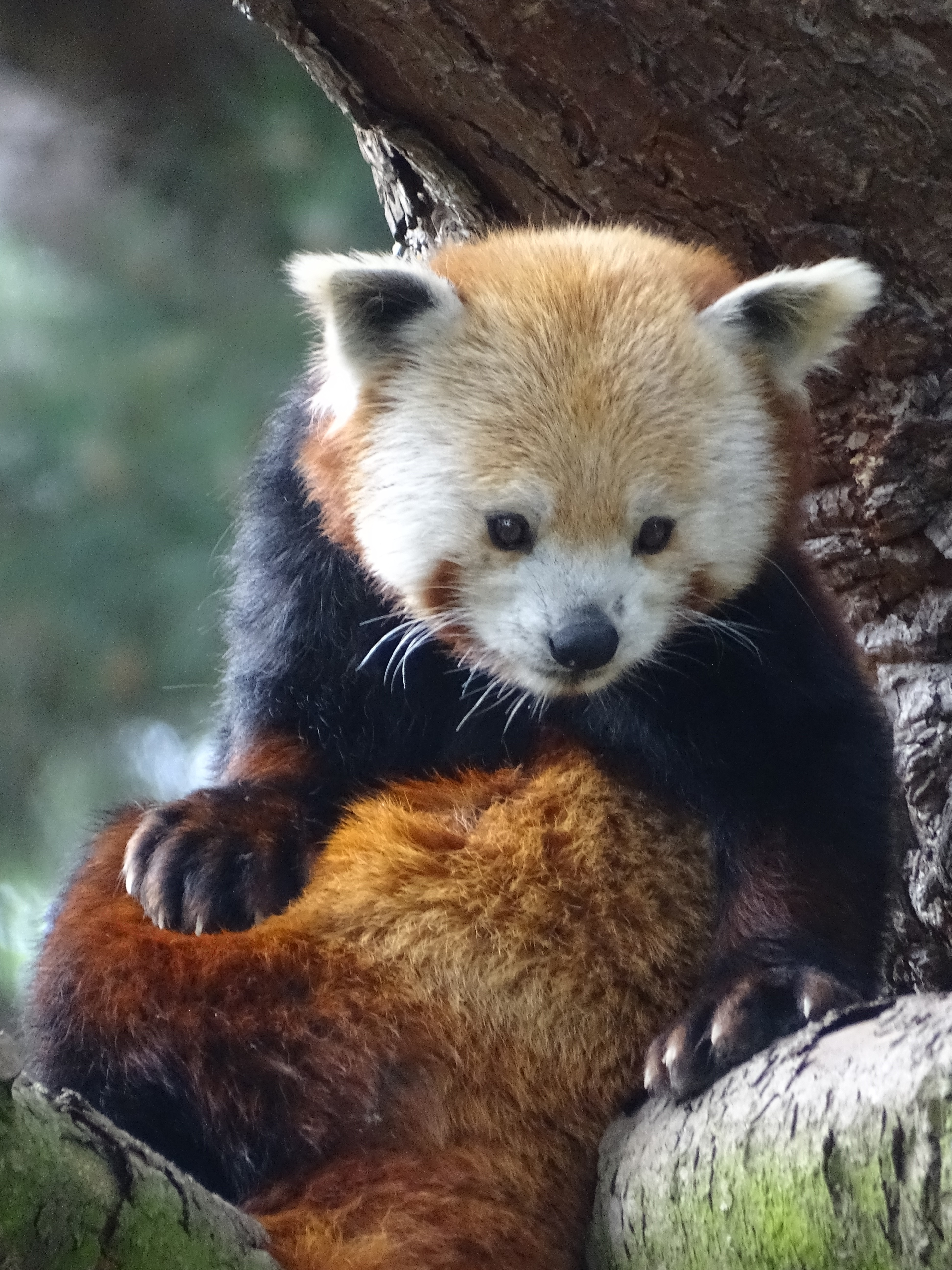 Red panda sitting on a tree