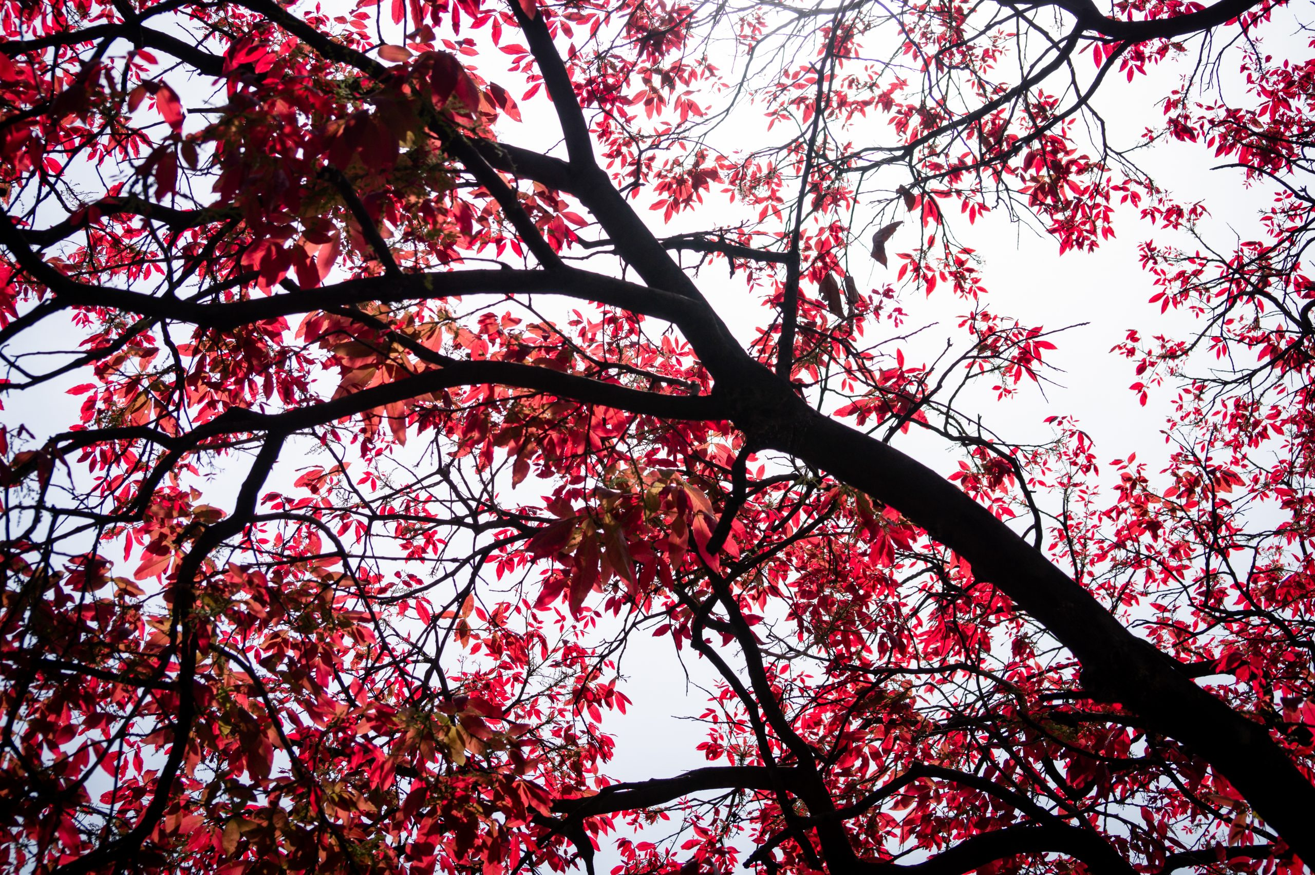 Red leafs tree