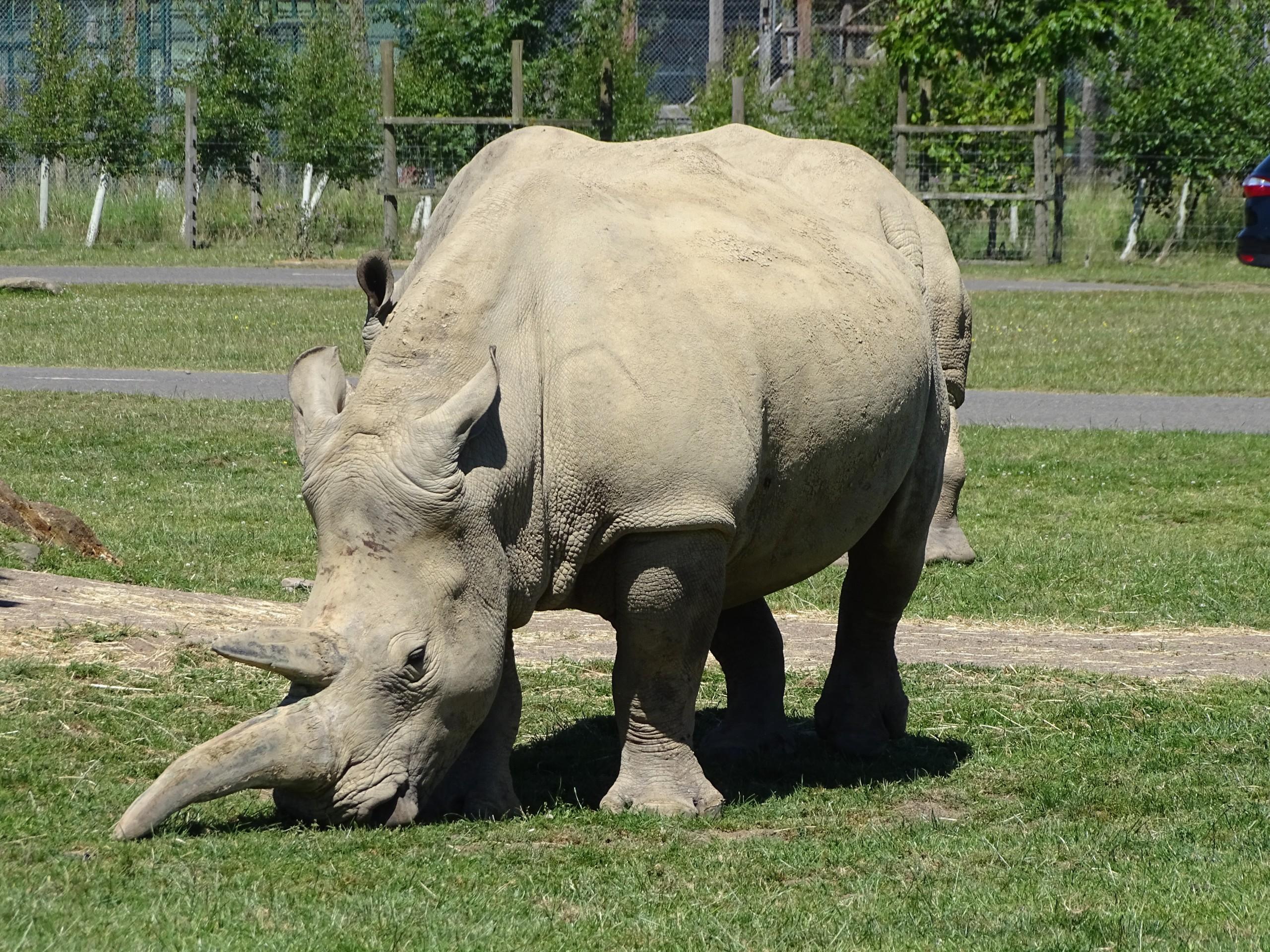Rhino one horn