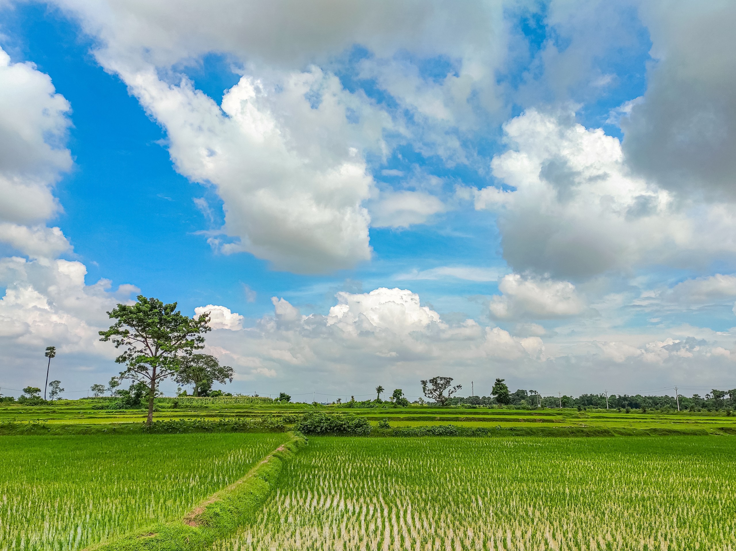 Rice Fields of India