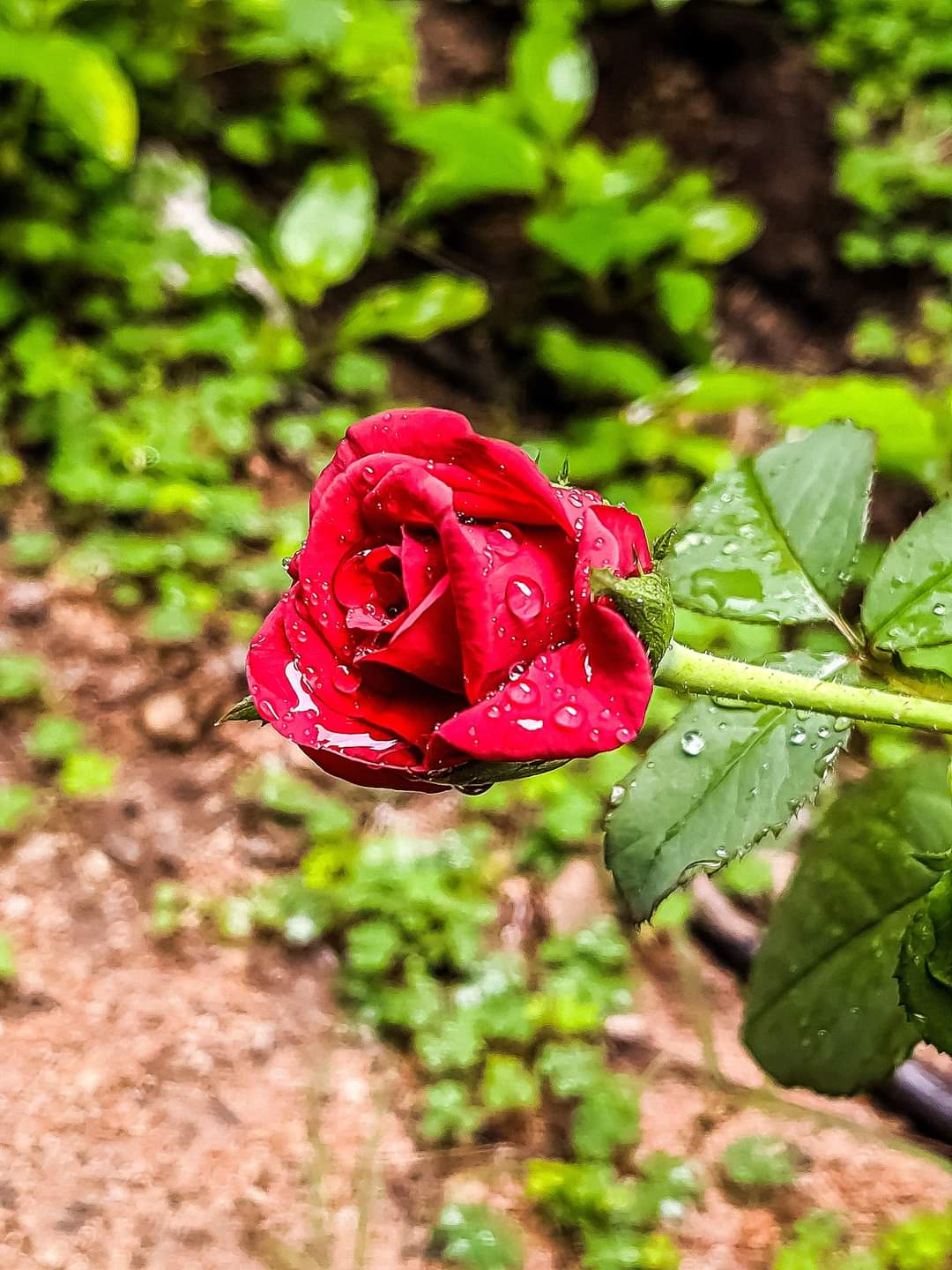 Moisture on a red rose