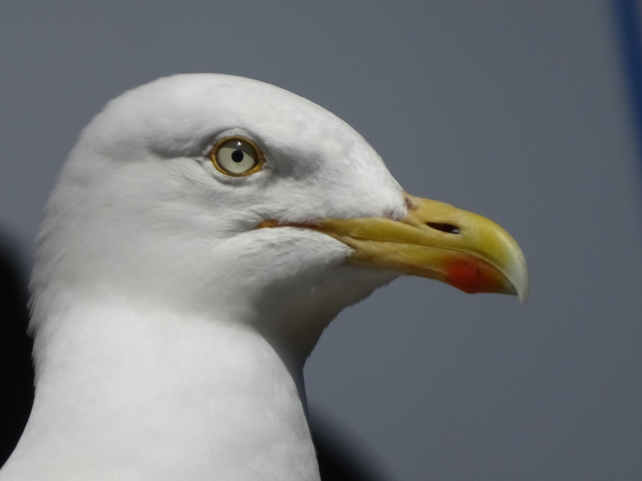 Head of a seagull
