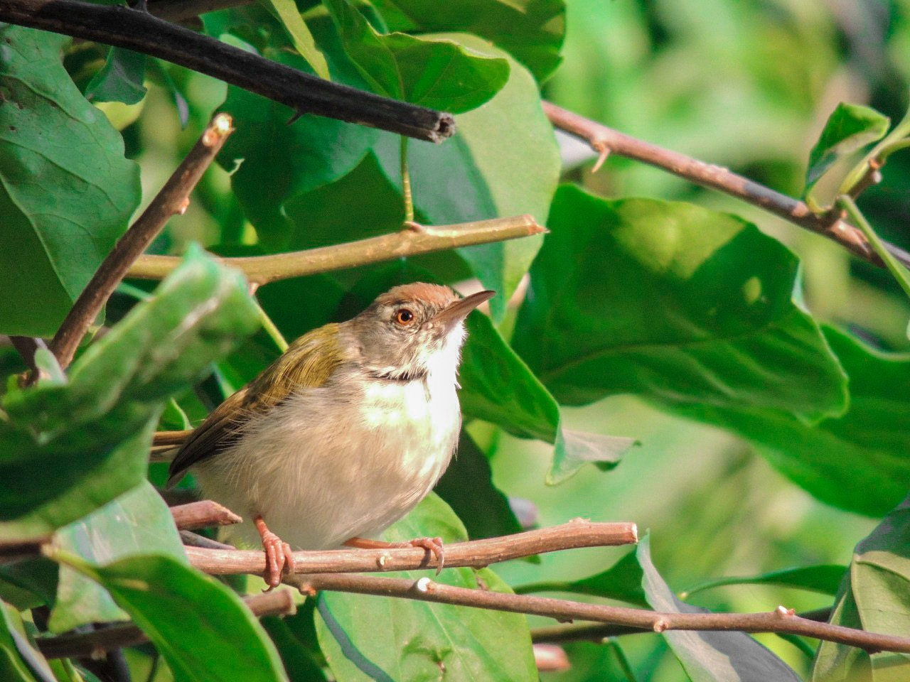 Small Indian bird on a plant