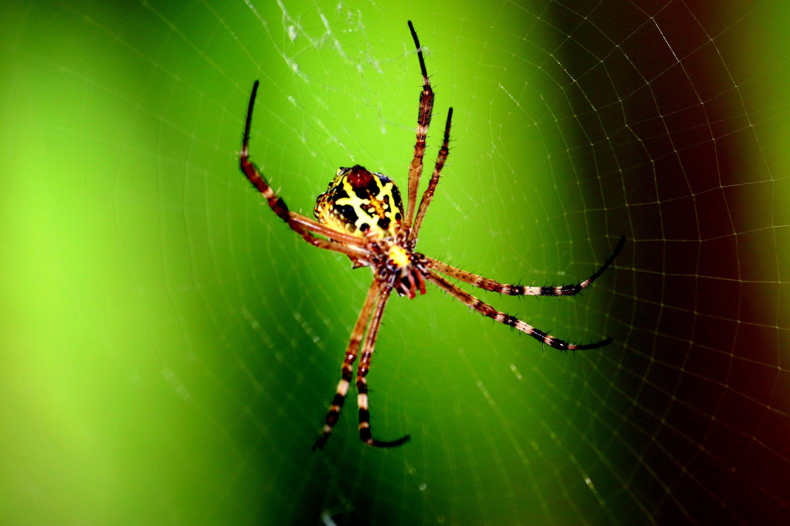 Spider and spiderweb