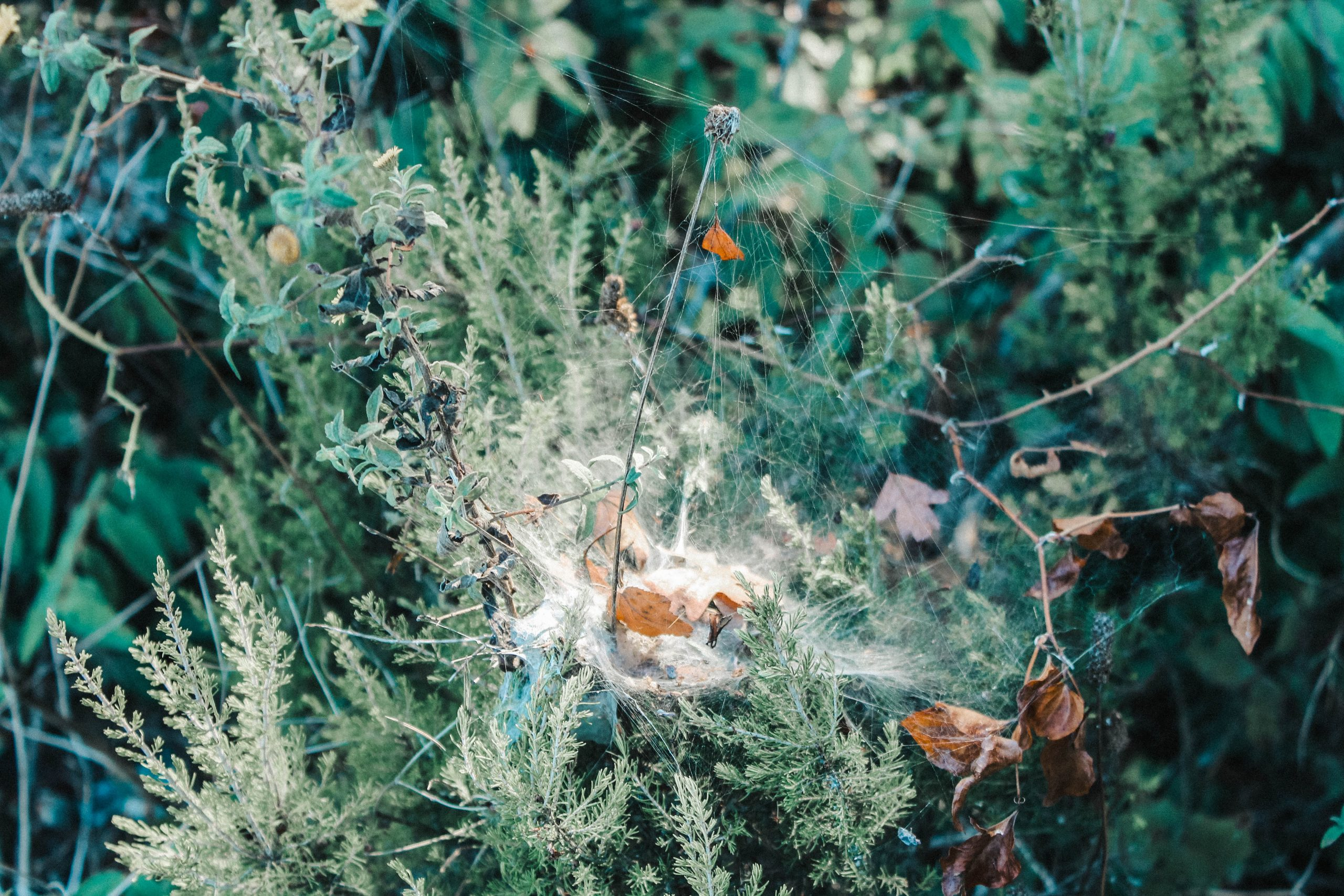 Spider web in the herbs