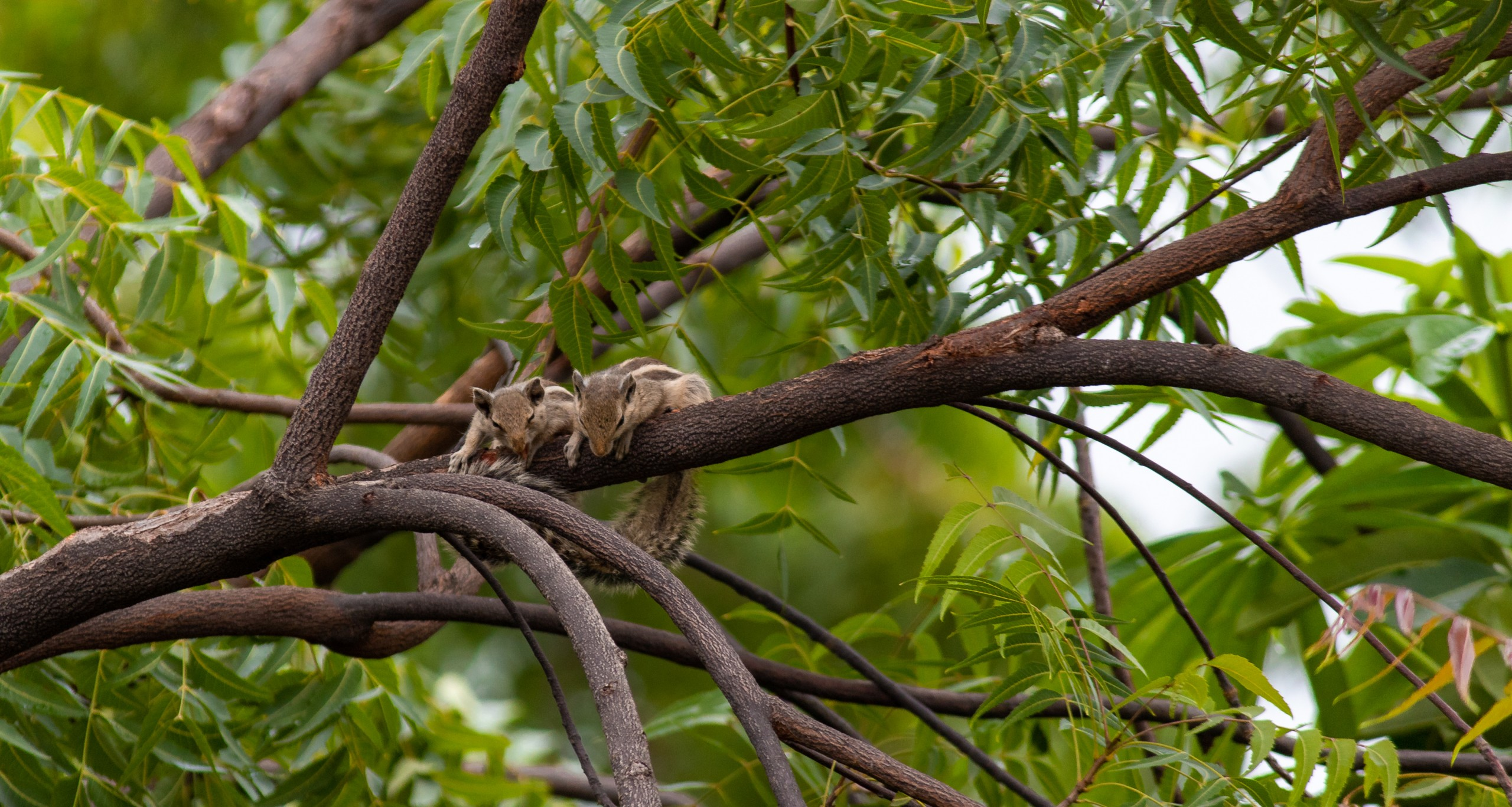 Squirrels on the Tree