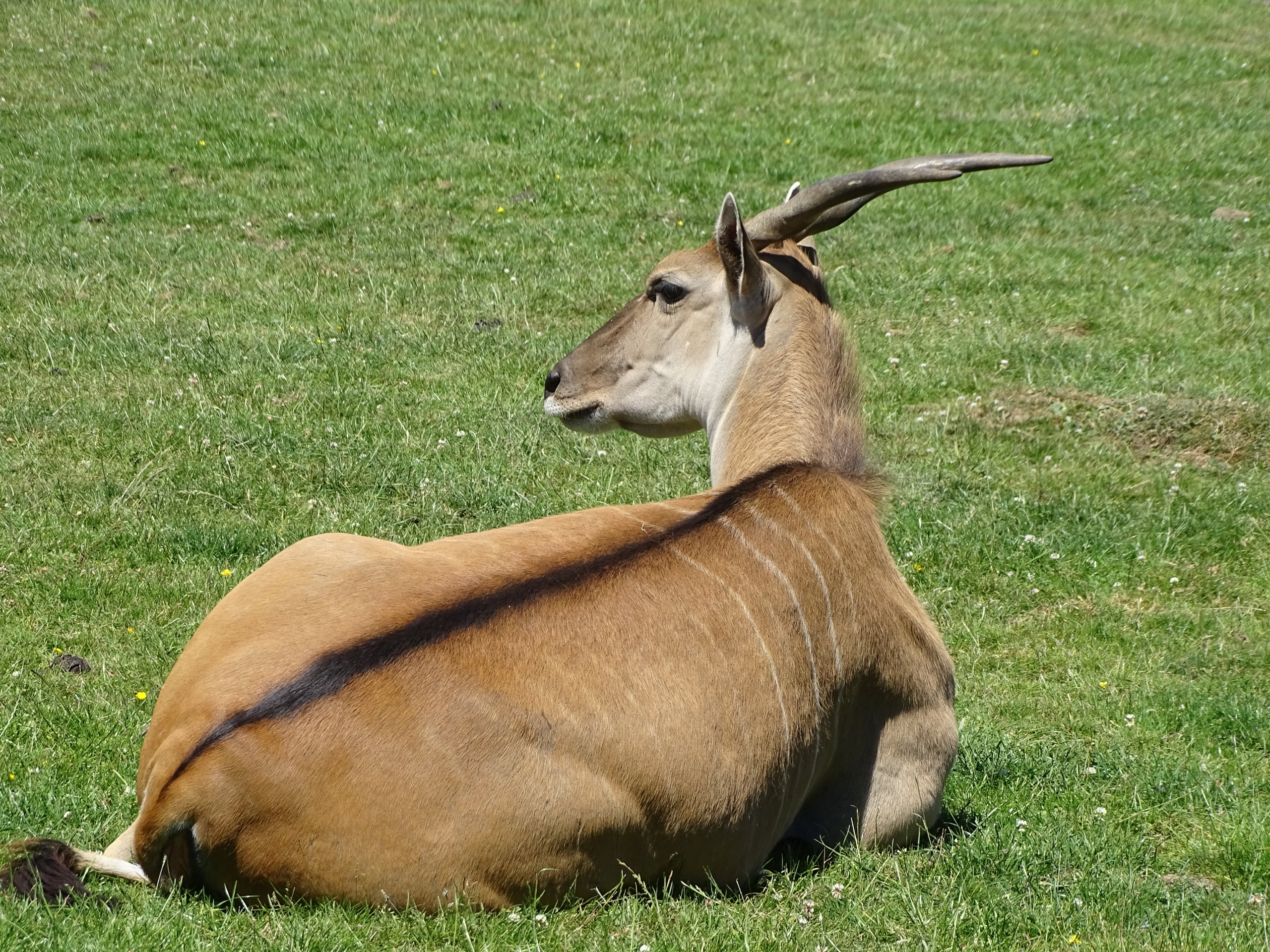 Antelope resting on the grass