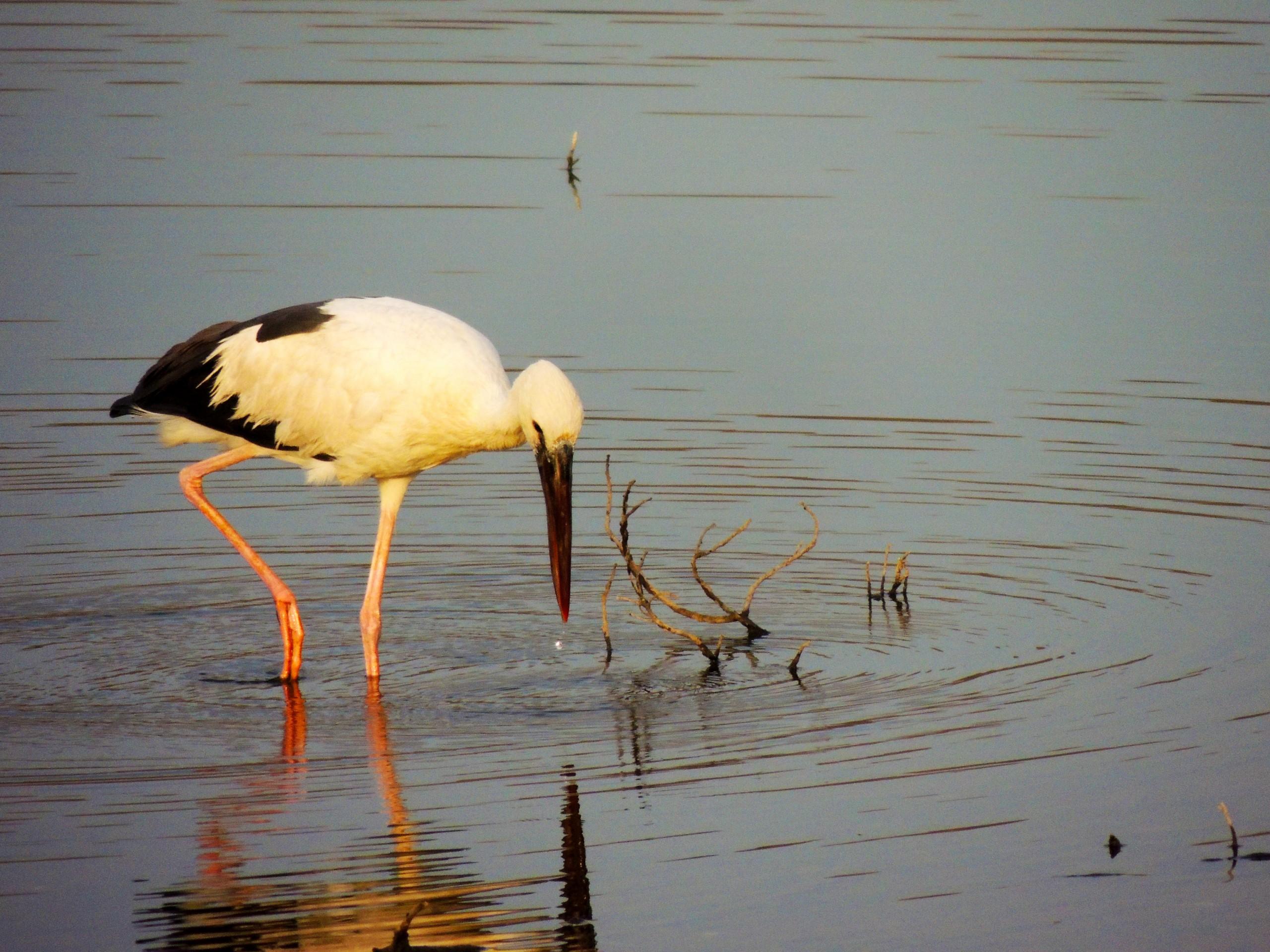 Stork on Waters