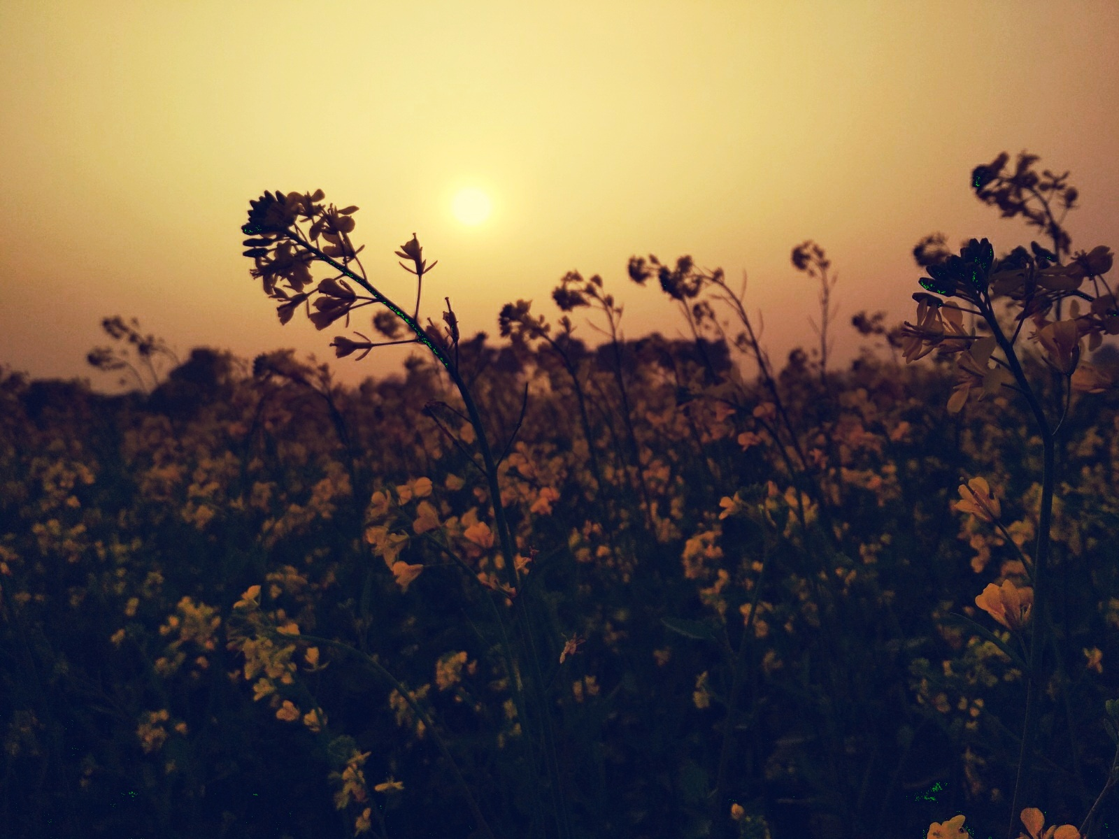 Sunset Behind Flowers