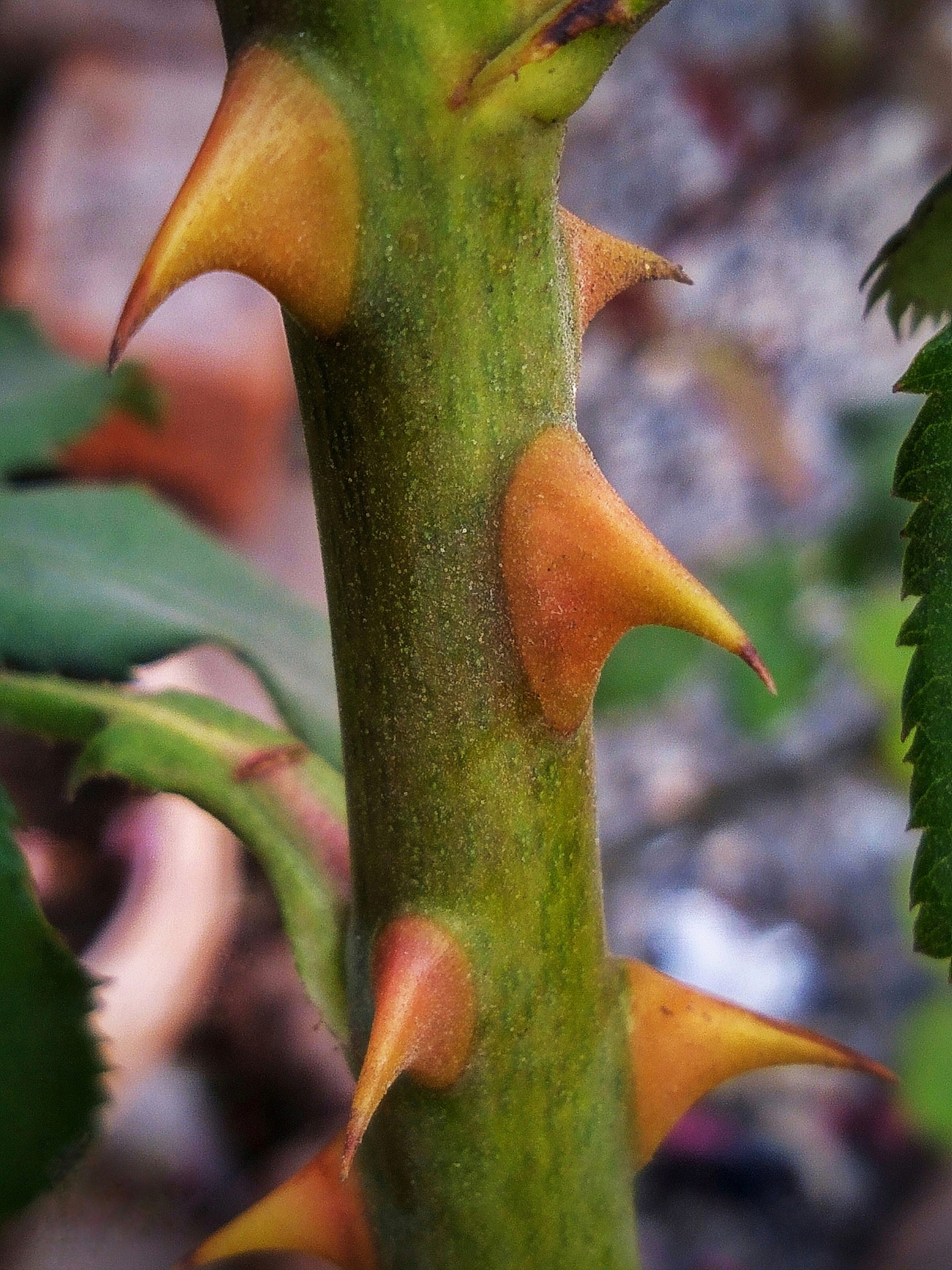 Thorns of Rose Plant